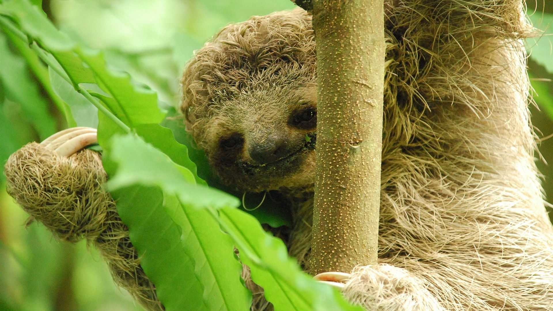 Baby Sloth Wallpaper Baby-sloth-300-dpi.jpg.1920x .