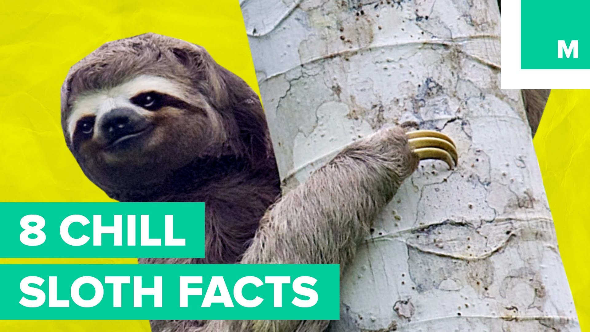8 Chill Sloth Facts | Fuzzy Friday