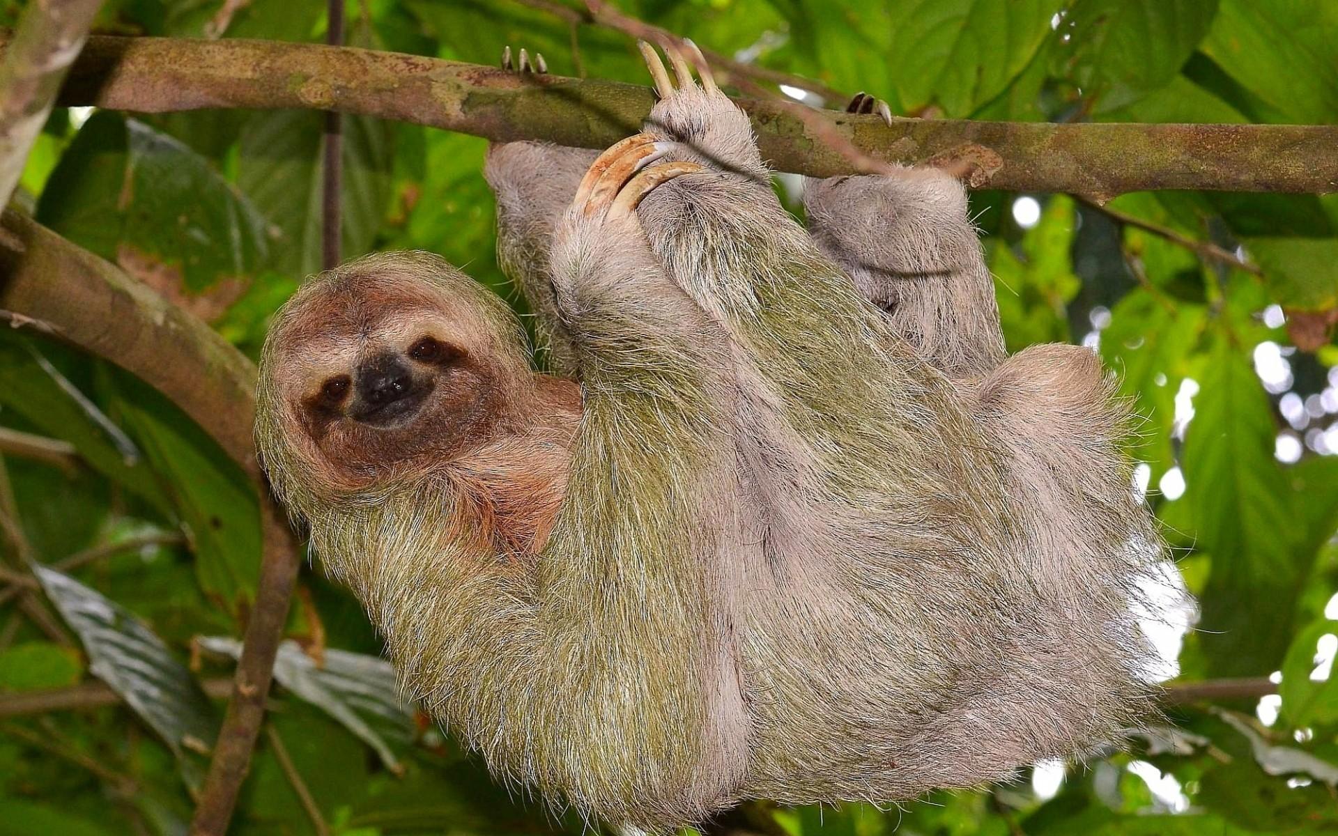 … animals hanging sloth wallpaper …