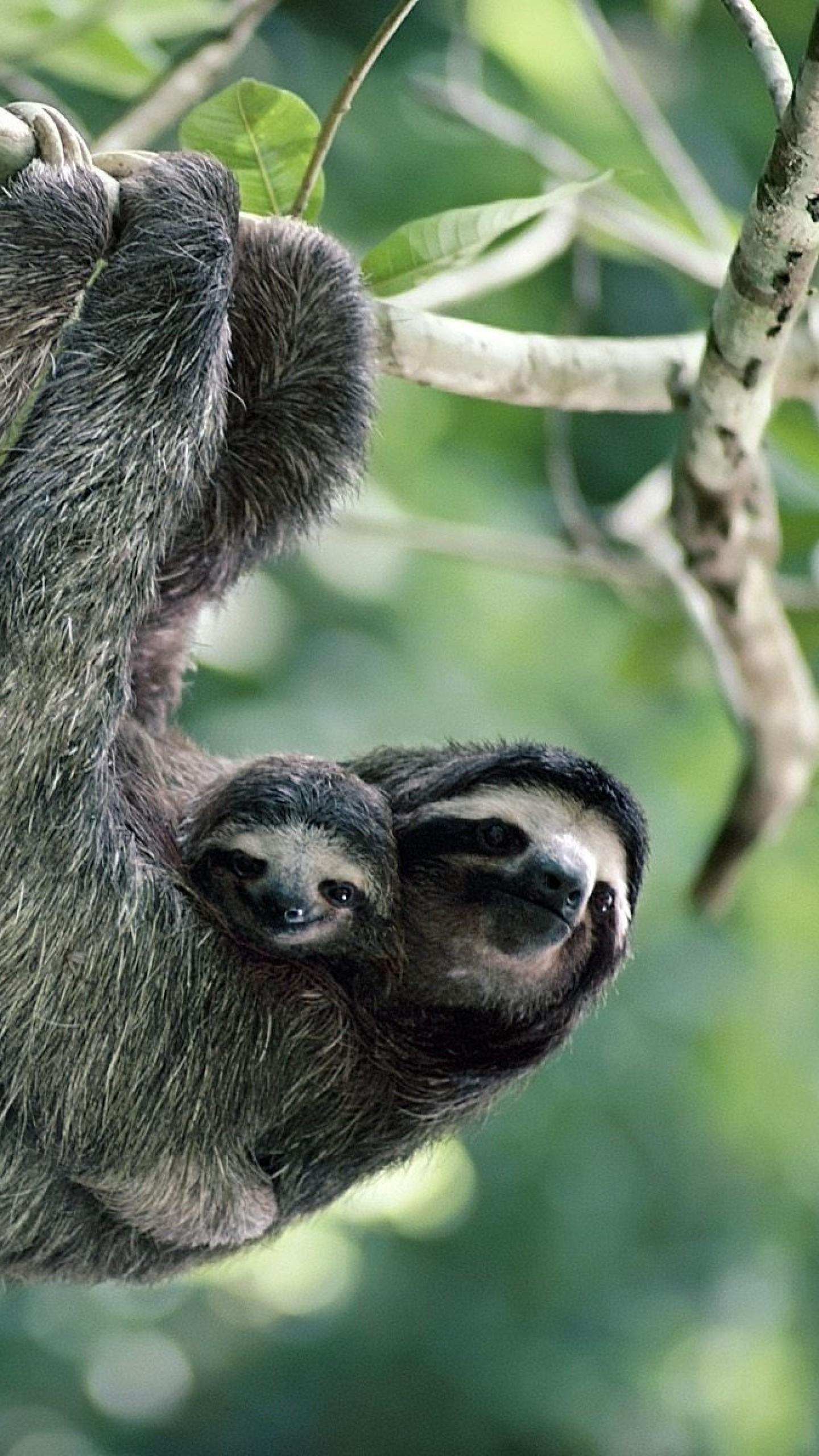 Wallpaper sloths, family, tree, pair