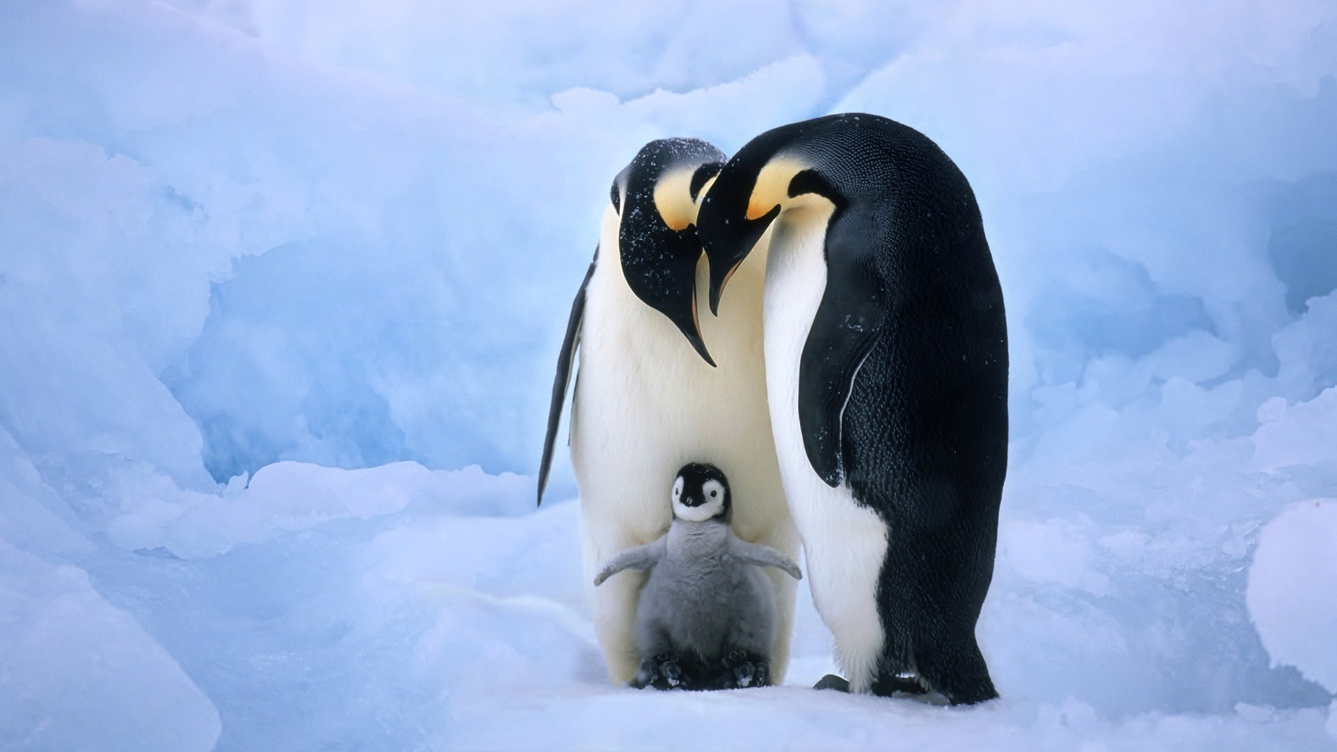 Baby penguin with parents: