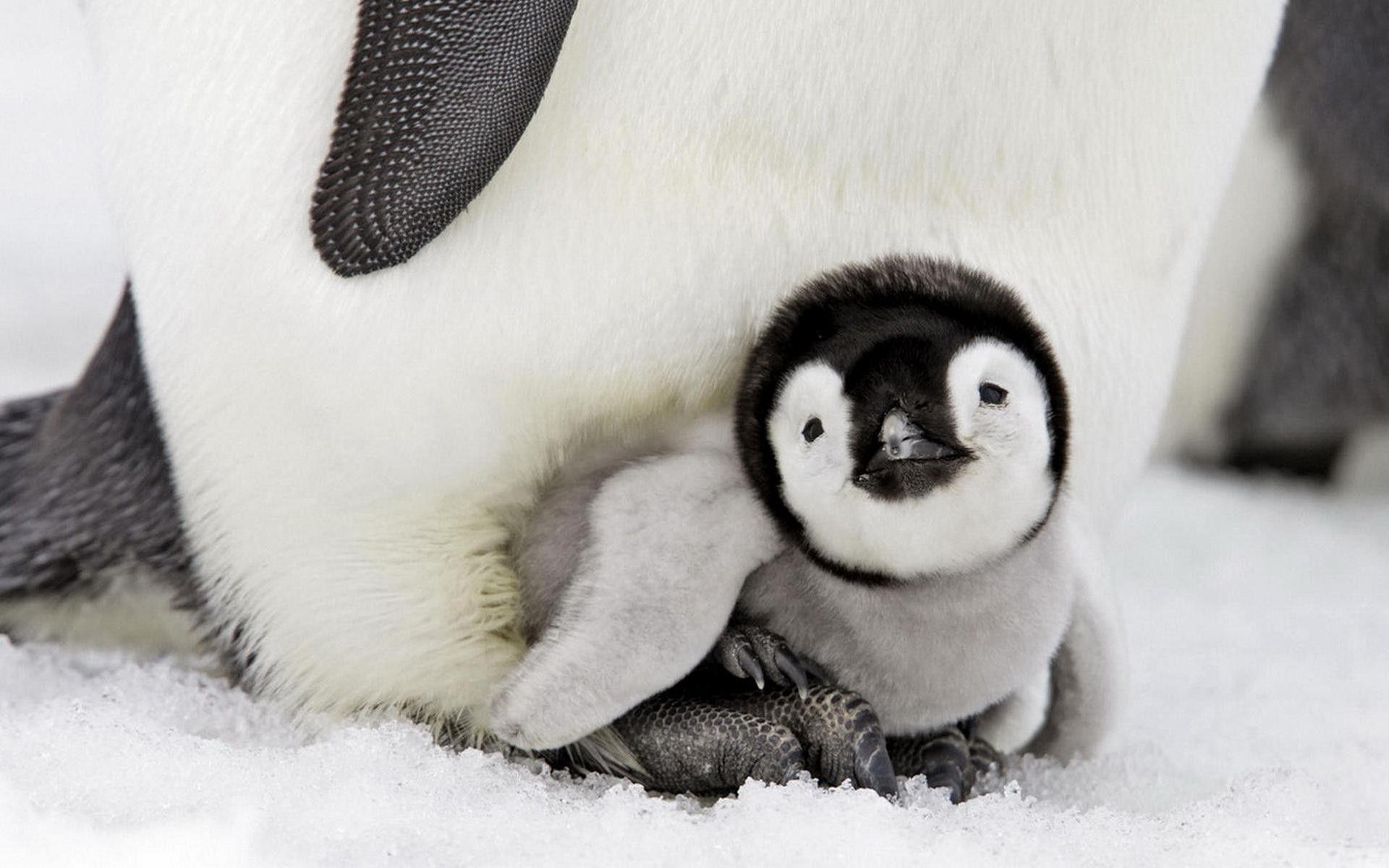 Wonderful Baby Penguin Wallpaper – WallpaperTube