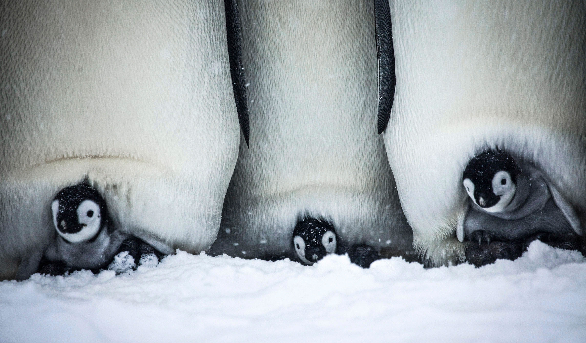 Watch a Cuddly Baby Penguin Struggle to Survive in its Chilly Home | Audubon