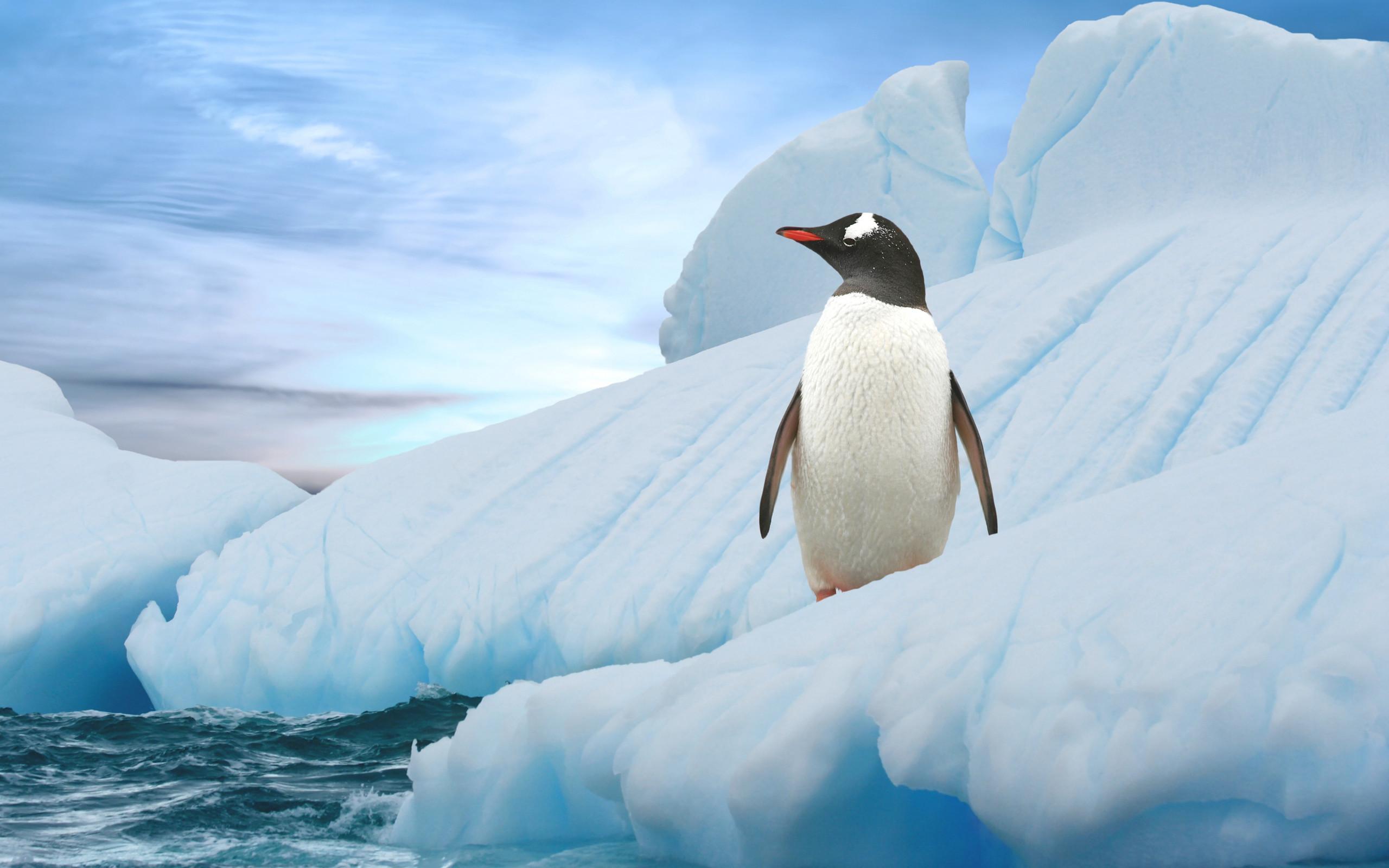 Animals Wallpaper: <b>Baby Penguin</b> Wallpaper Desktop Background for