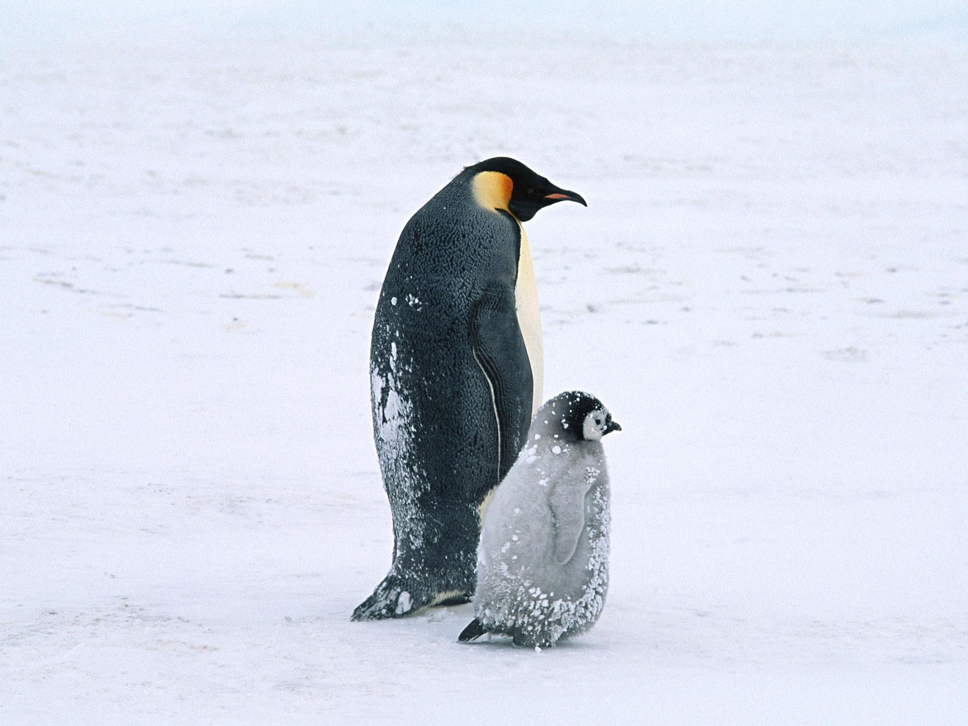Baby Penguins Wallpaper Baby Desktop Wallpaper