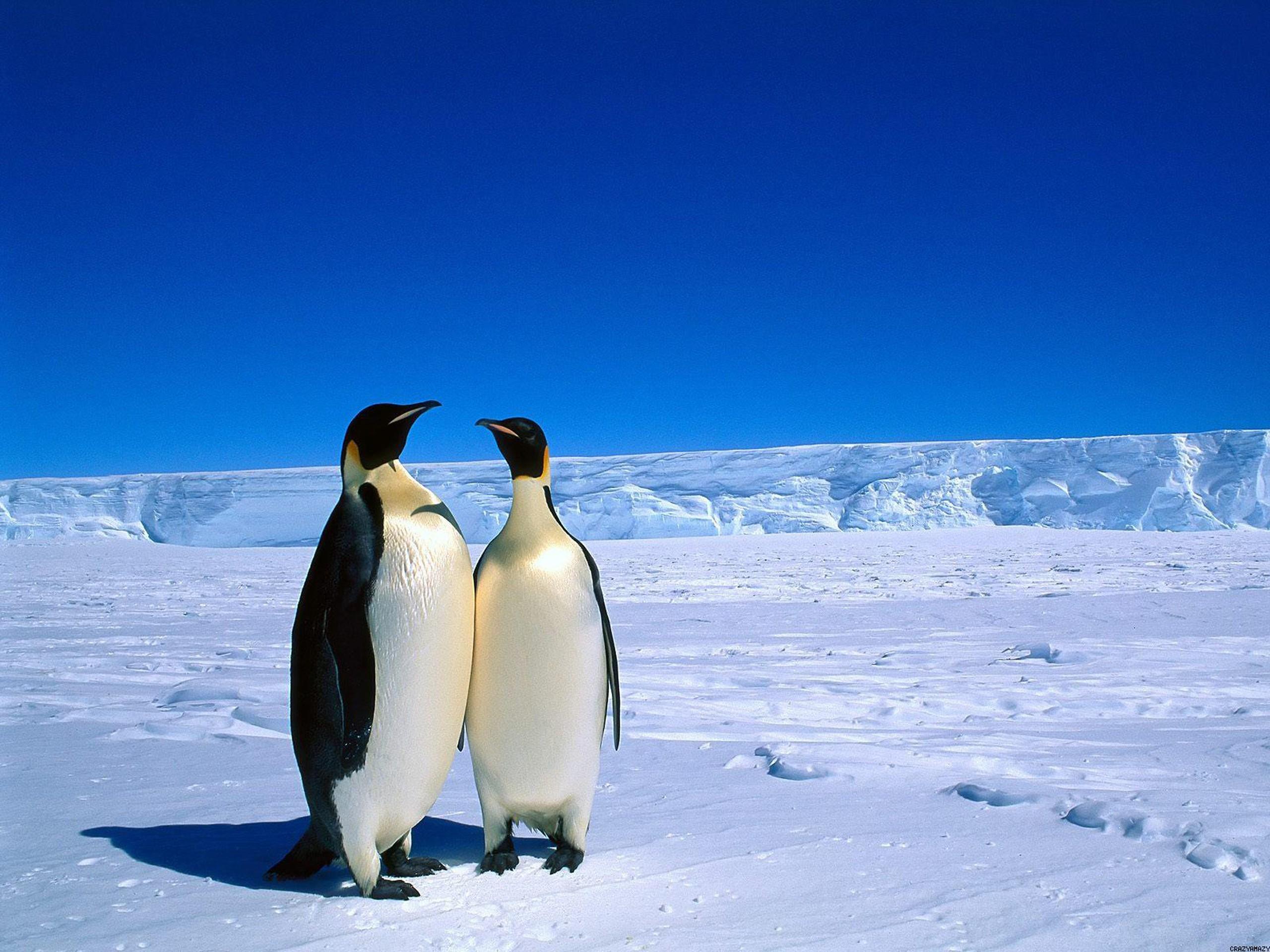 Baby Penguin Desktop Wallpaper