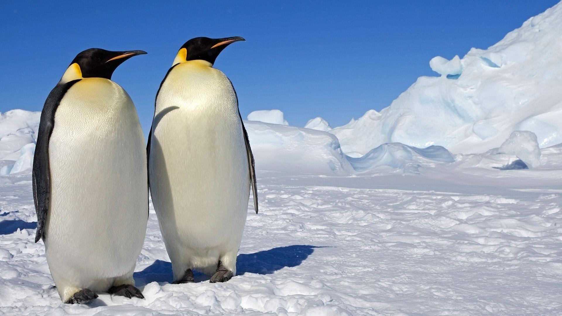 Penguin Wallpaper – https://www.56pic.com/animals-birds/penguin-wallpaper/ |  HD Wallpaper | Pinterest | Penguins, Wallpaper and Animal wallpaper