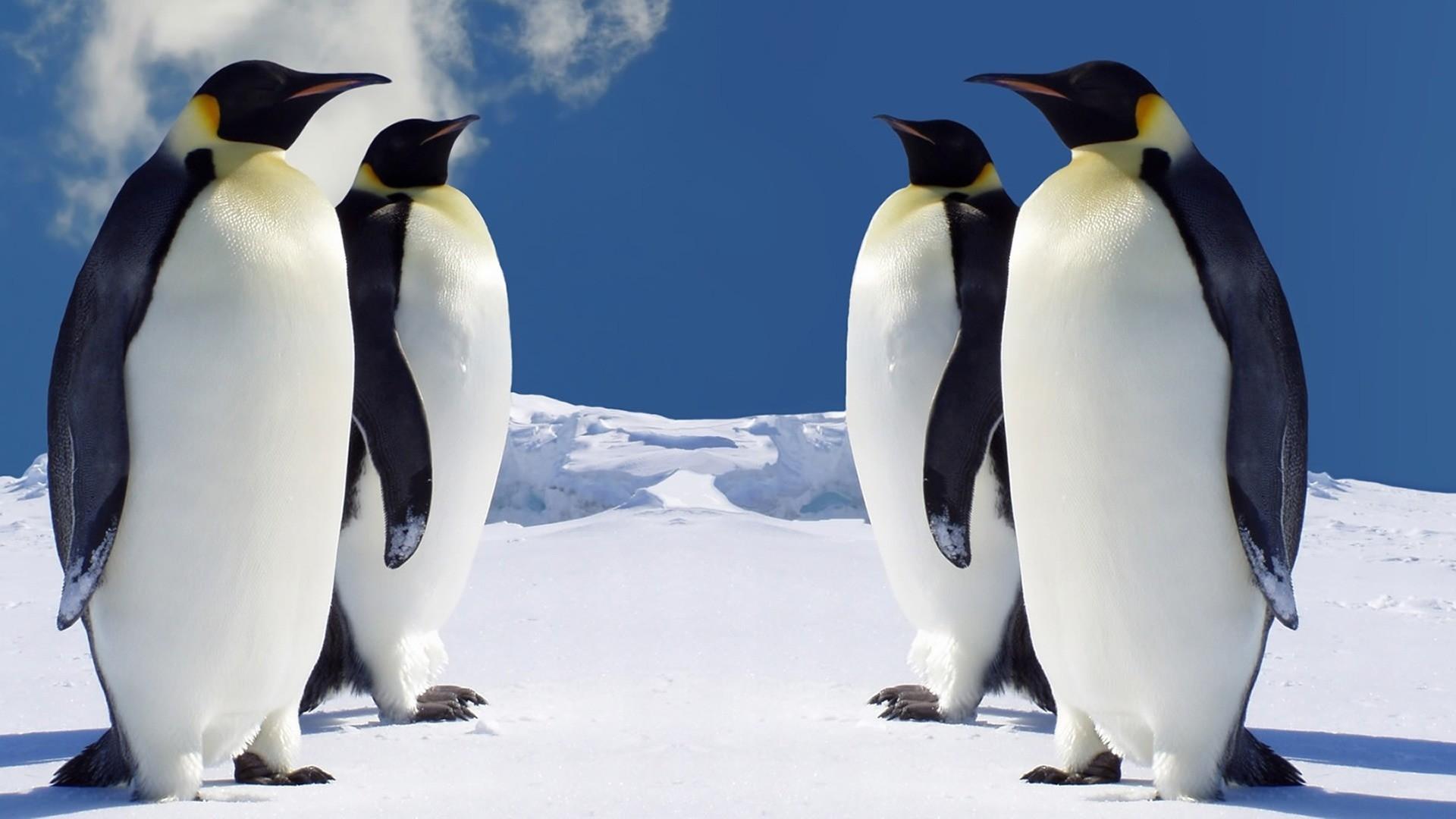 4 Emperor Penguins Wallpaper Penguins Animals