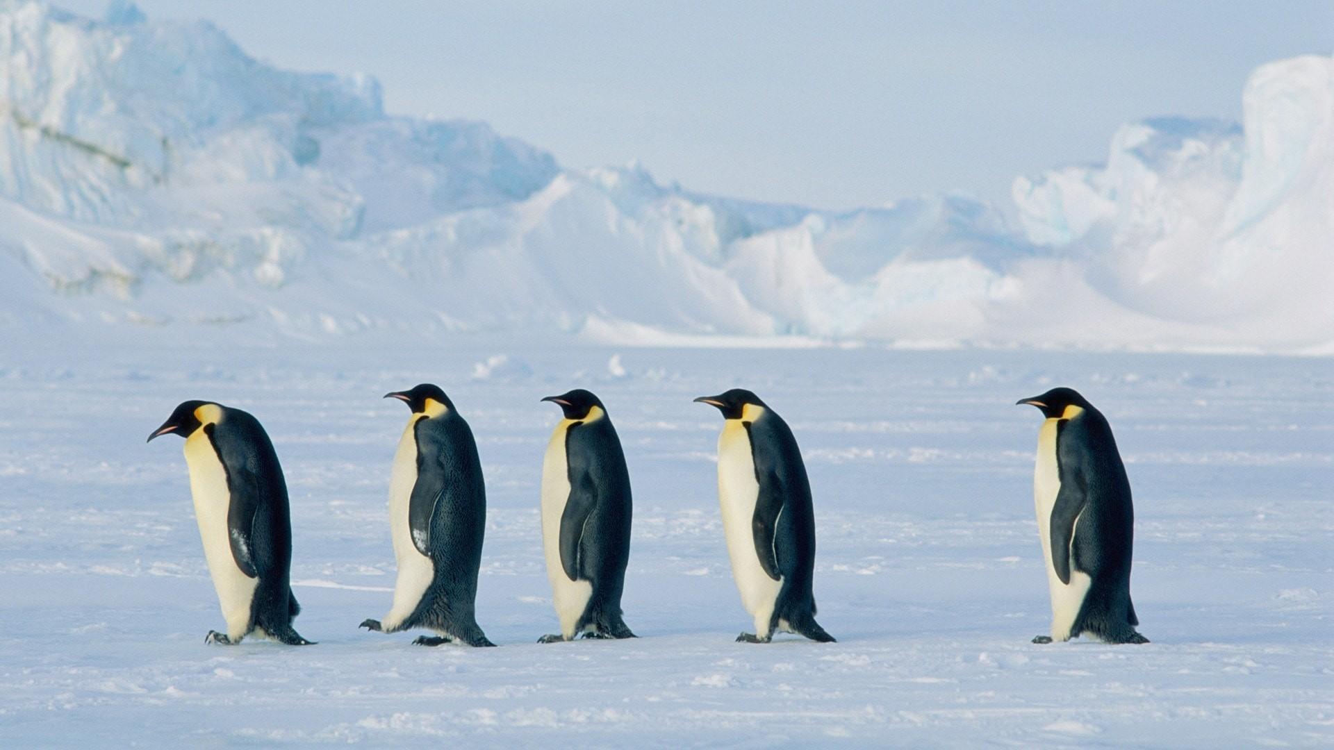 Penguin Backgrounds Penguin Wallpaper