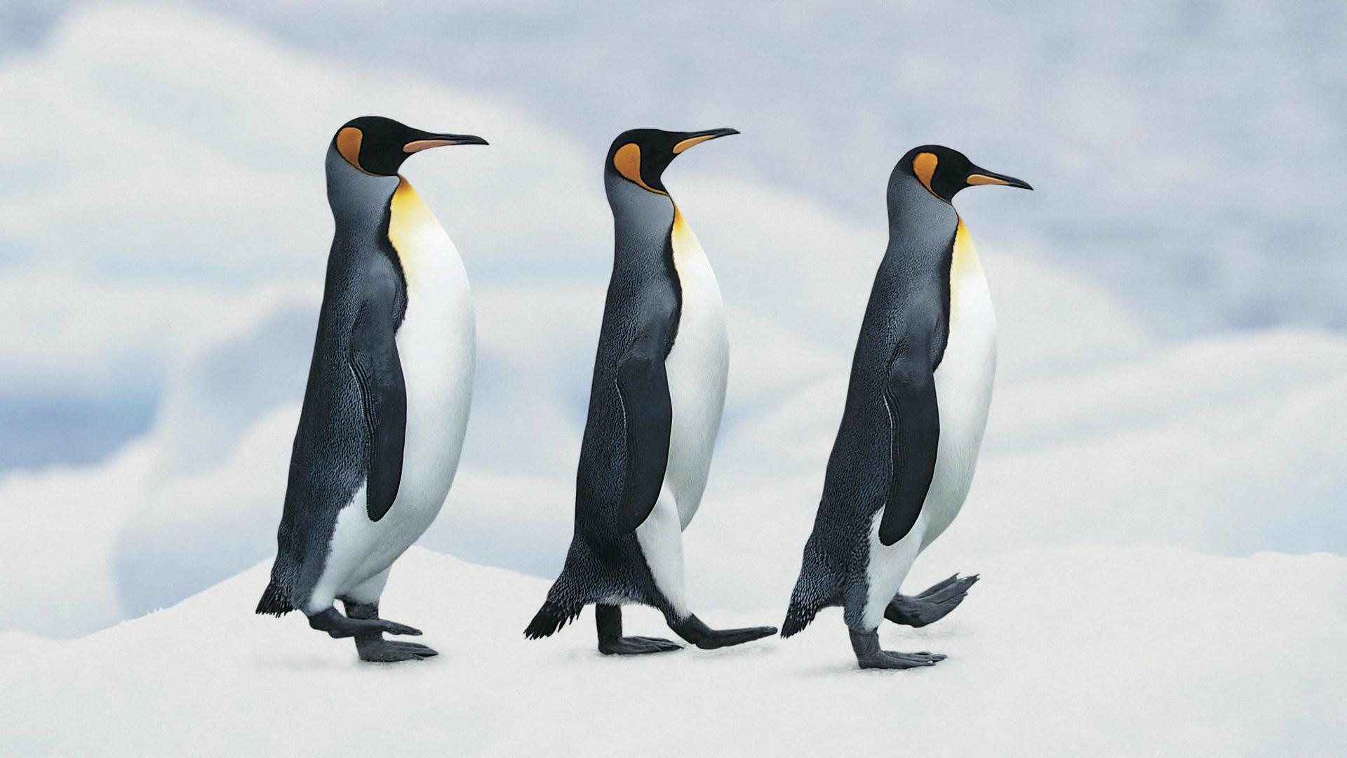 Baby Penguin HD Wallpapers