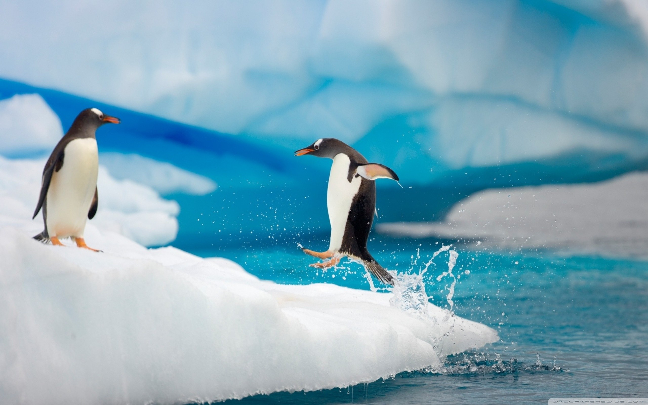 Penguin Jumping HD Wide Wallpaper for Widescreen