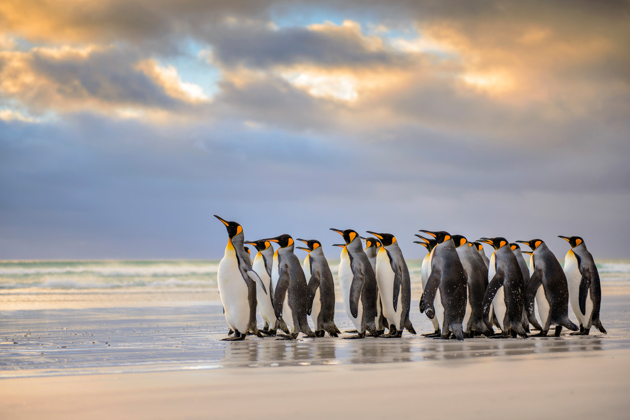 King penguin, Falkland Islands, penguin, Atlantic ocean, beach, ocean,  clouds