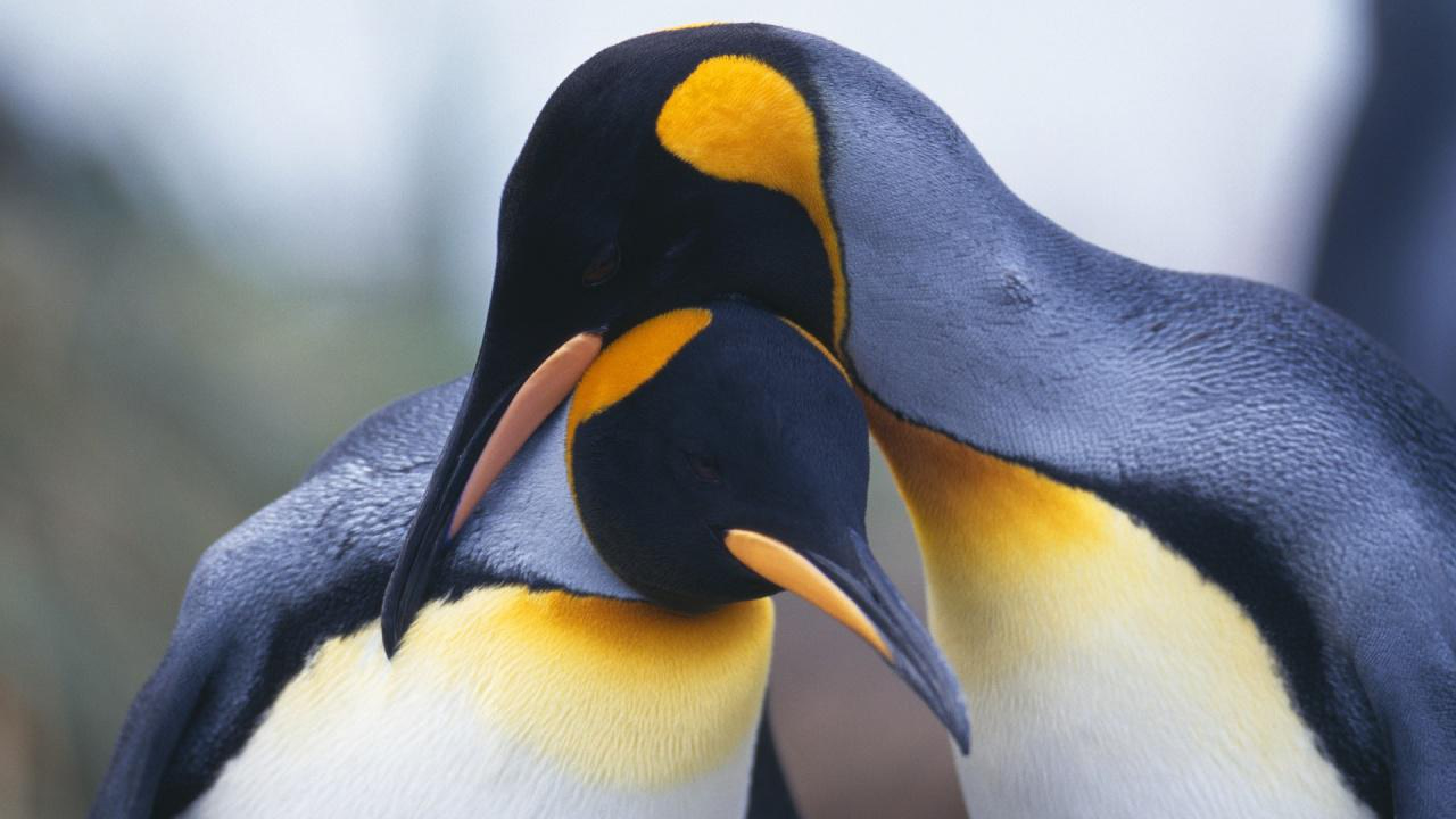 Baby Penguin Wallpapers Group (70 )