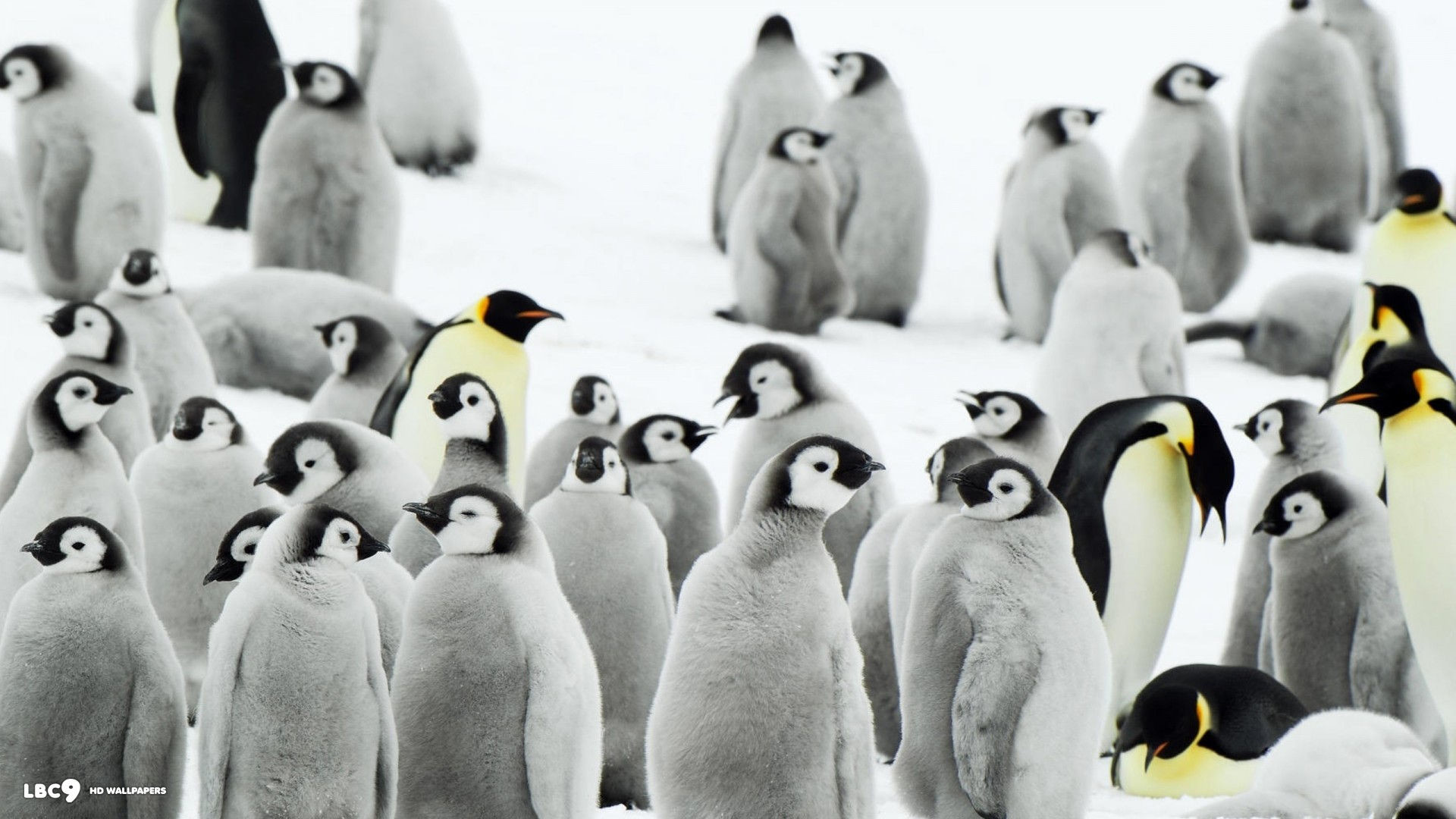penguins wallpaper 1080p