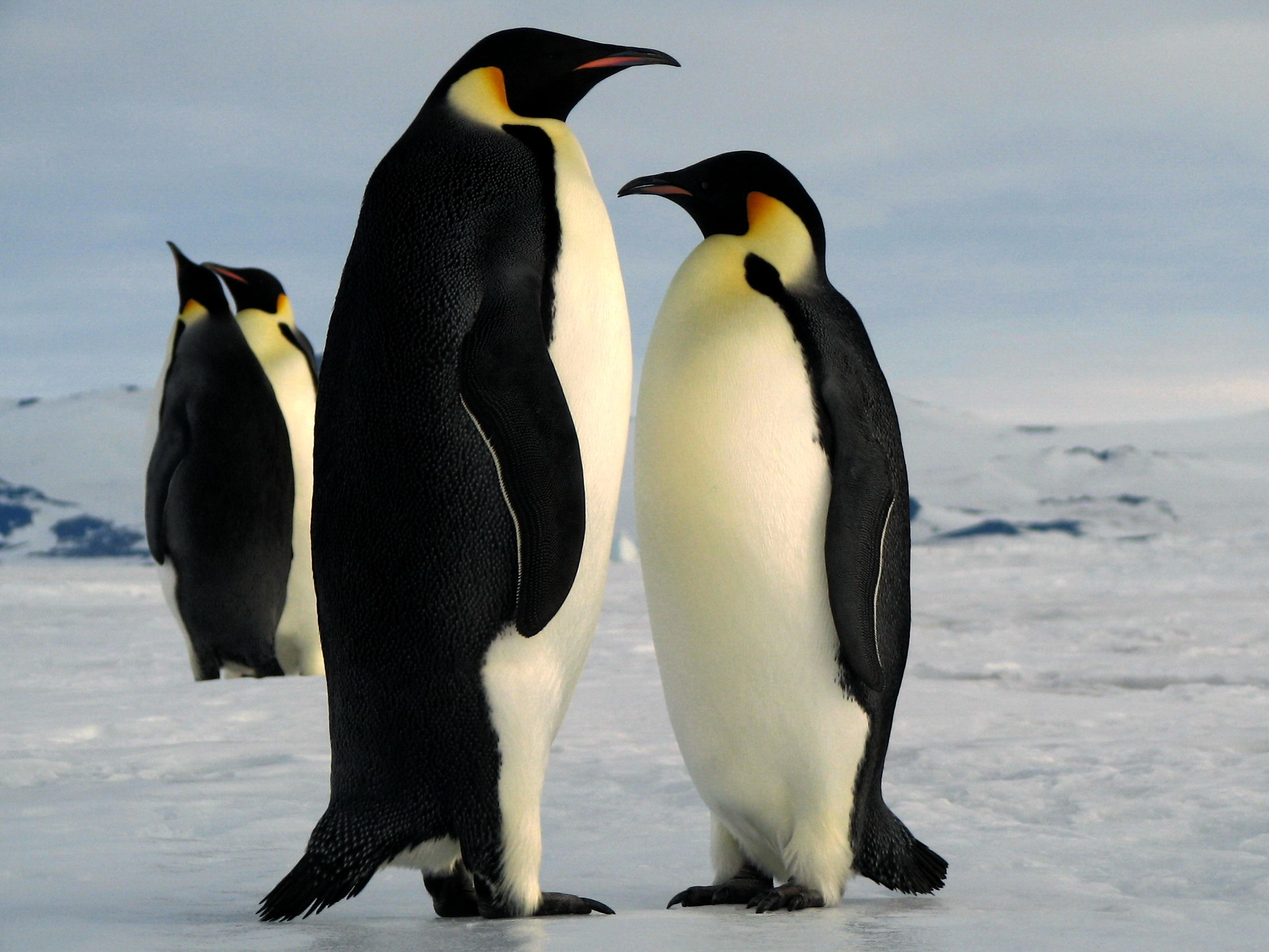 Cute Baby Penguins In Love