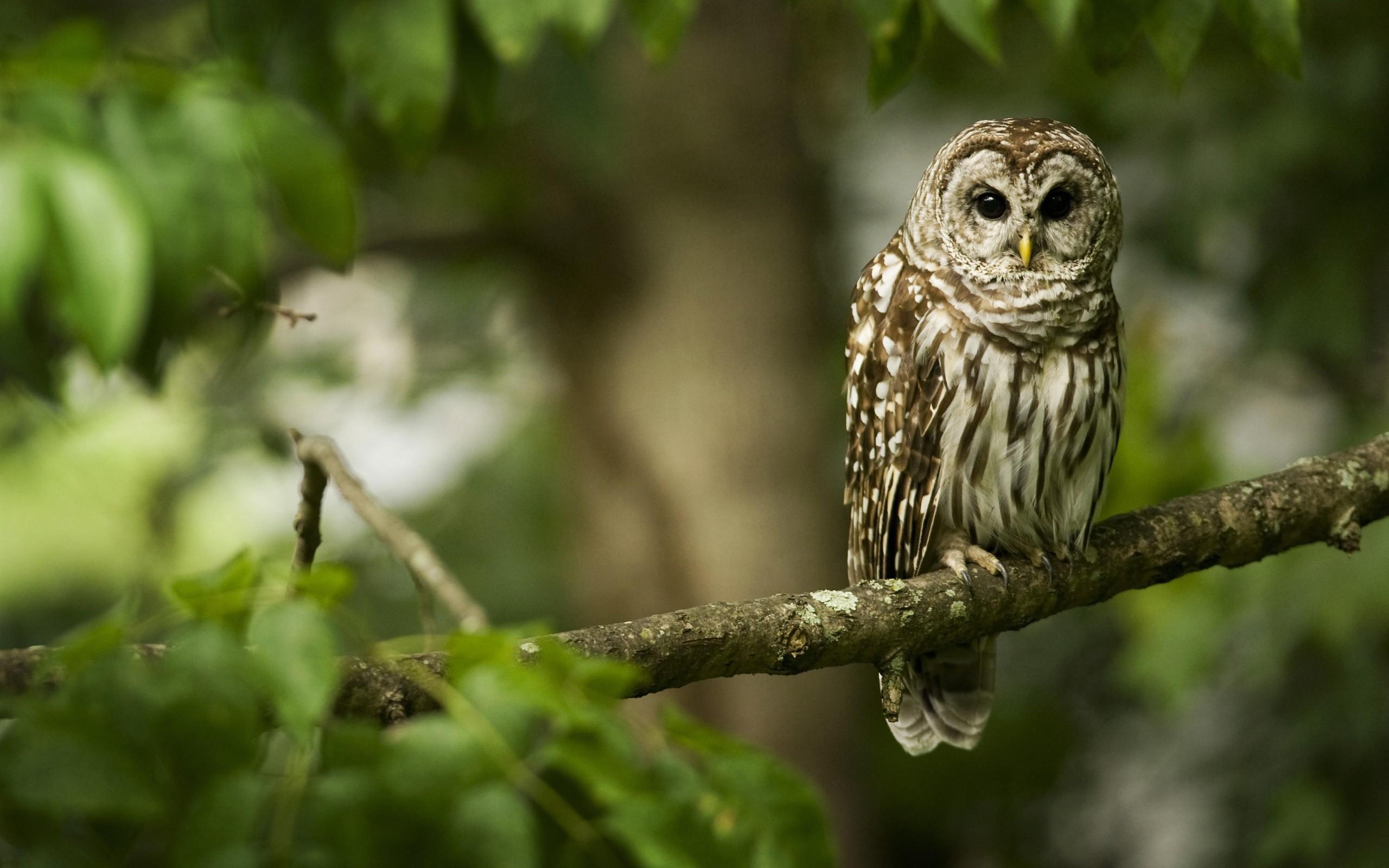 Owl Photo Bird