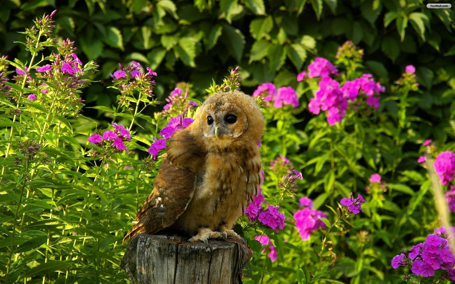 Cute Brown Owl Wallpaper