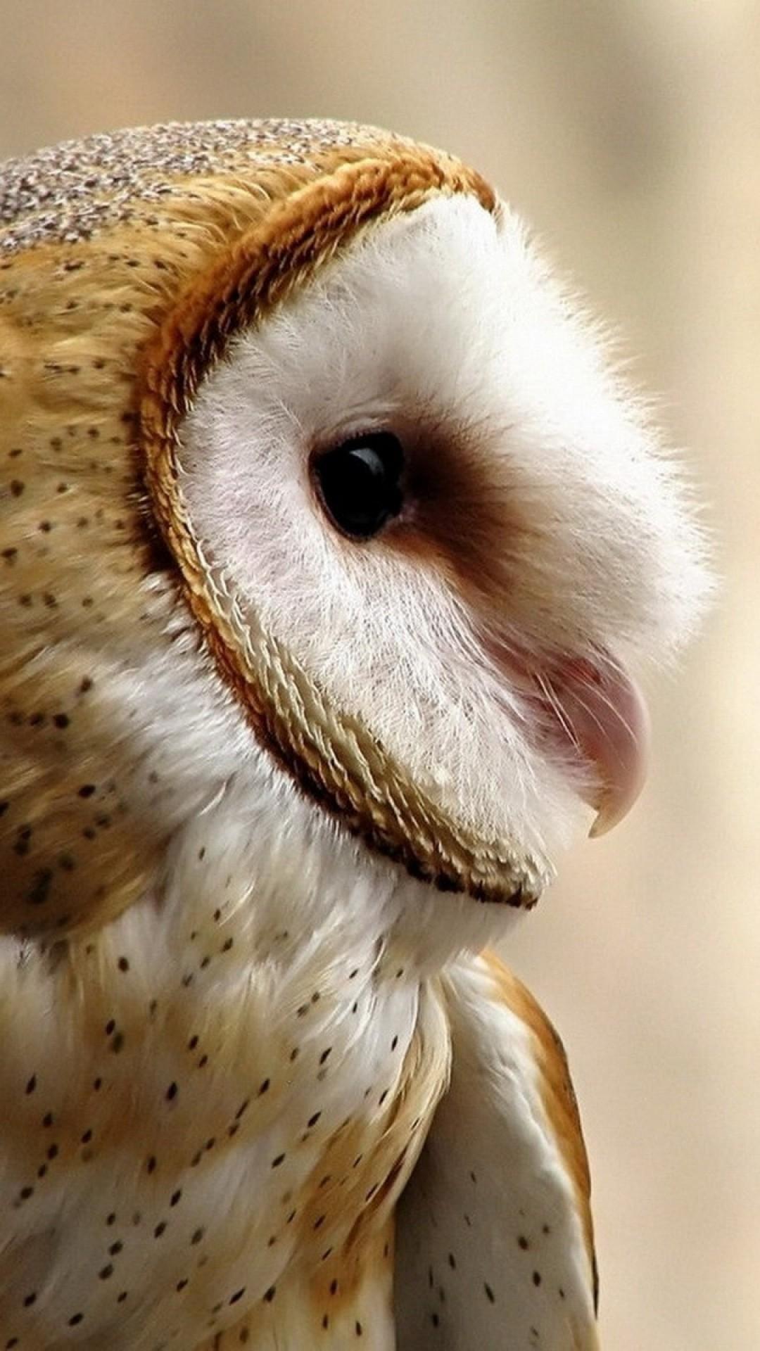 Beautiful Barn Owl close up