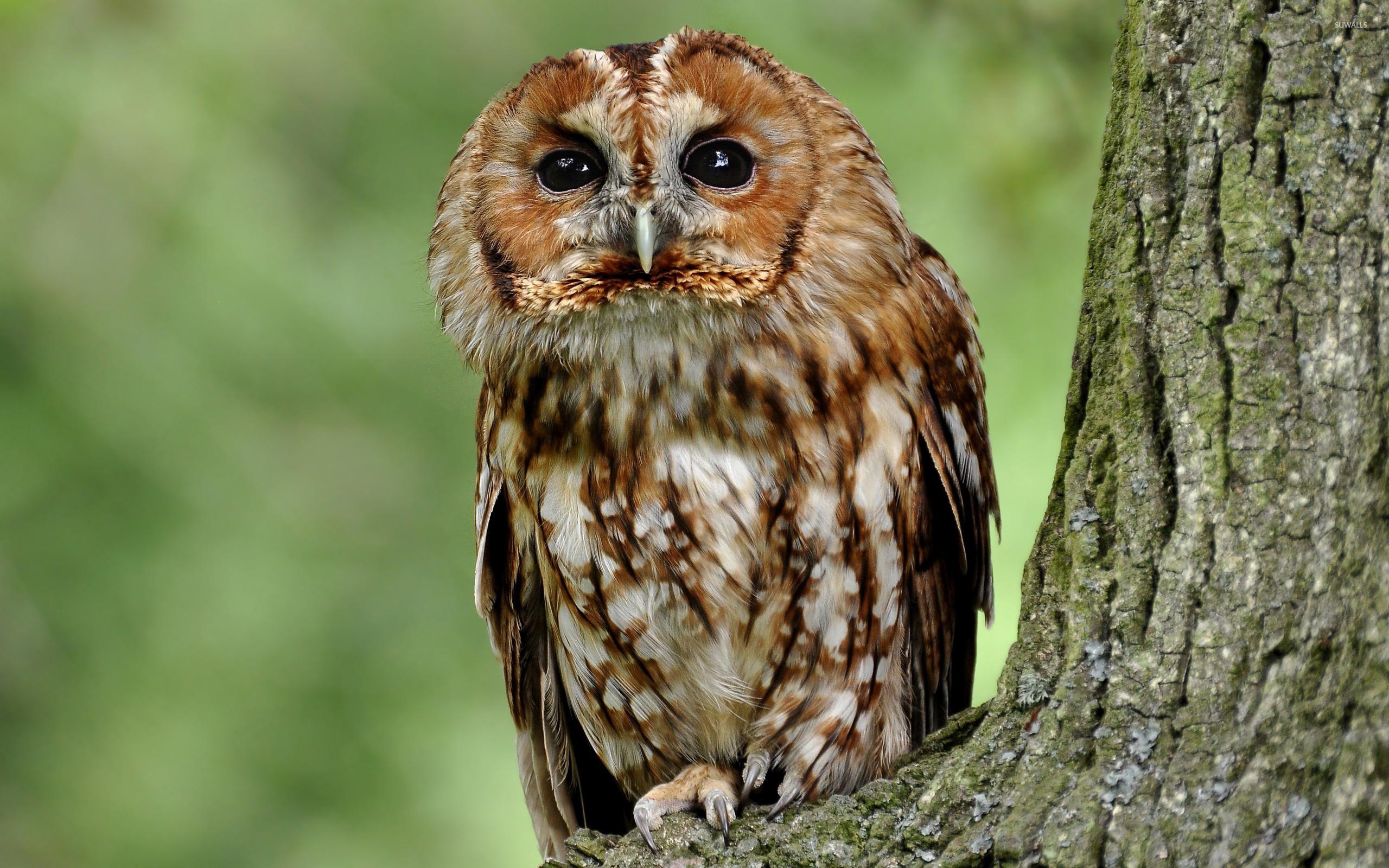 Tawny owl in a tree wallpaper jpg