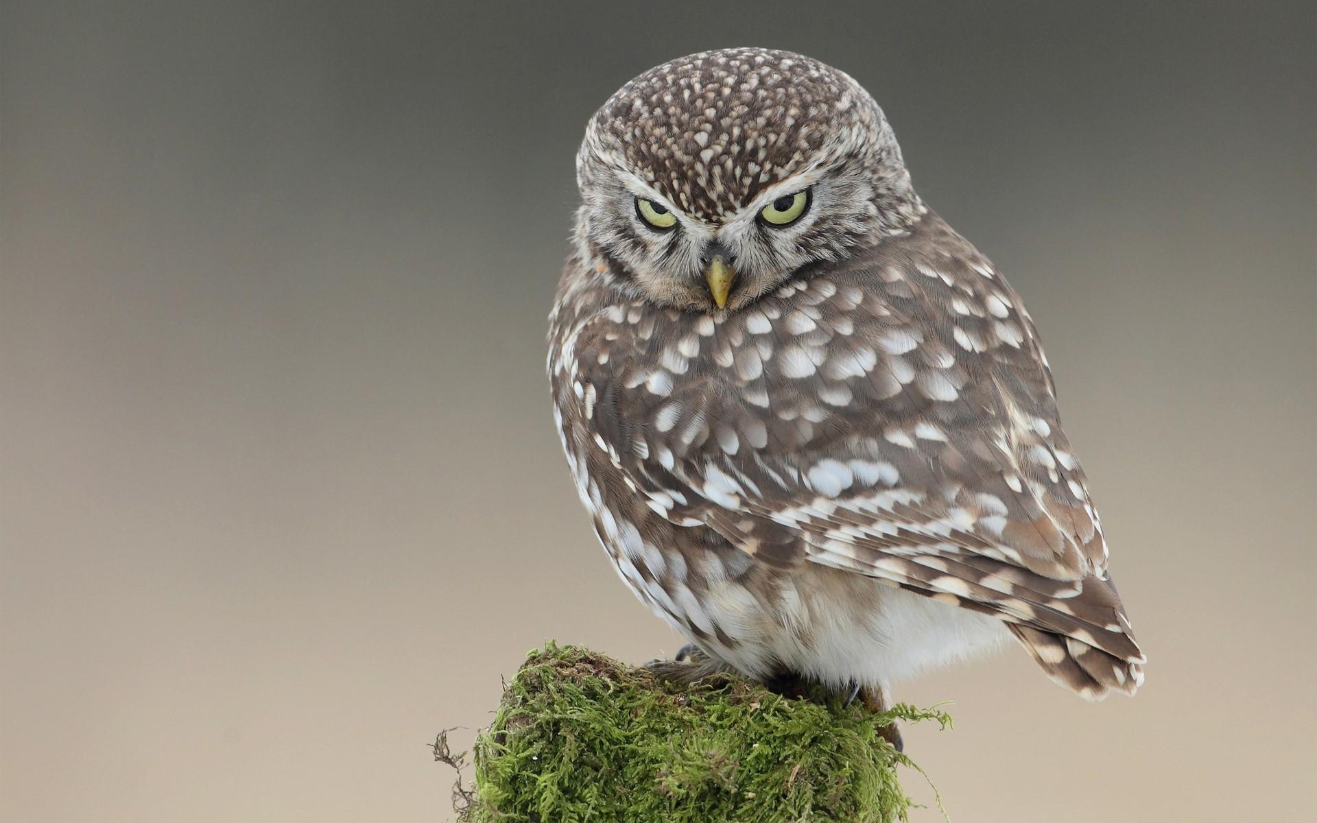 Grey Owl Desktop Wallpaper