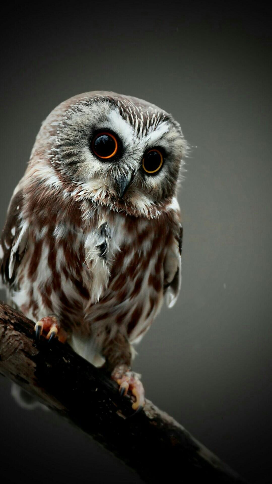 A Cute Owl Mobile HD Wallpaper