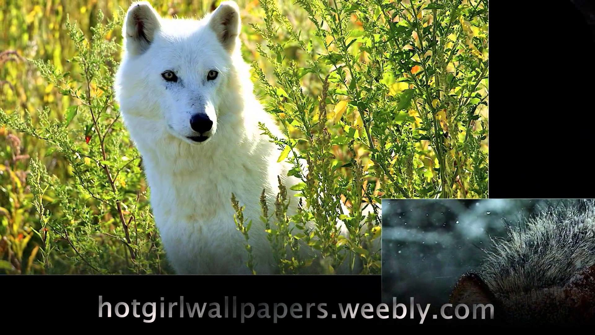 Wolves Wallpaper amazing cute images of wolves where do wolf live cool  photography – YouTube