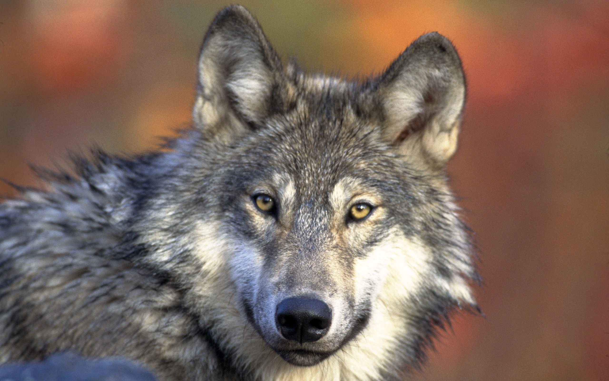 cool wallpapers of wolves 1564 wallpapers cool wallpapers of wolves .