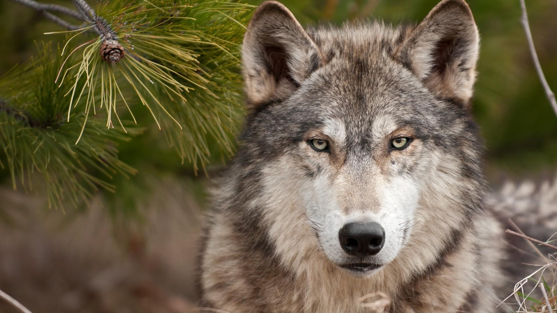Preview wallpaper wolf, muzzle, predator, wool 1920×1080