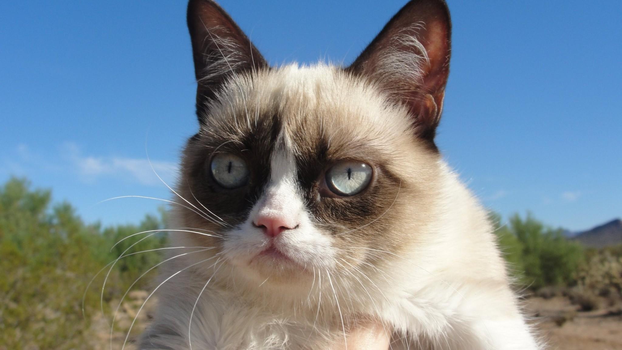 Preview wallpaper grumpy cat, cat, dissatisfied 2048×1152
