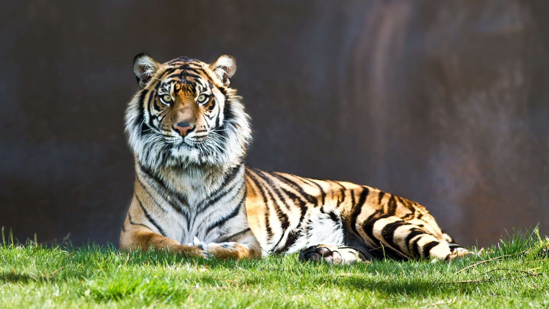 Cats – Tiger Japanese Cat Images for HD 16:9 High Definition 1080p 900p 720p