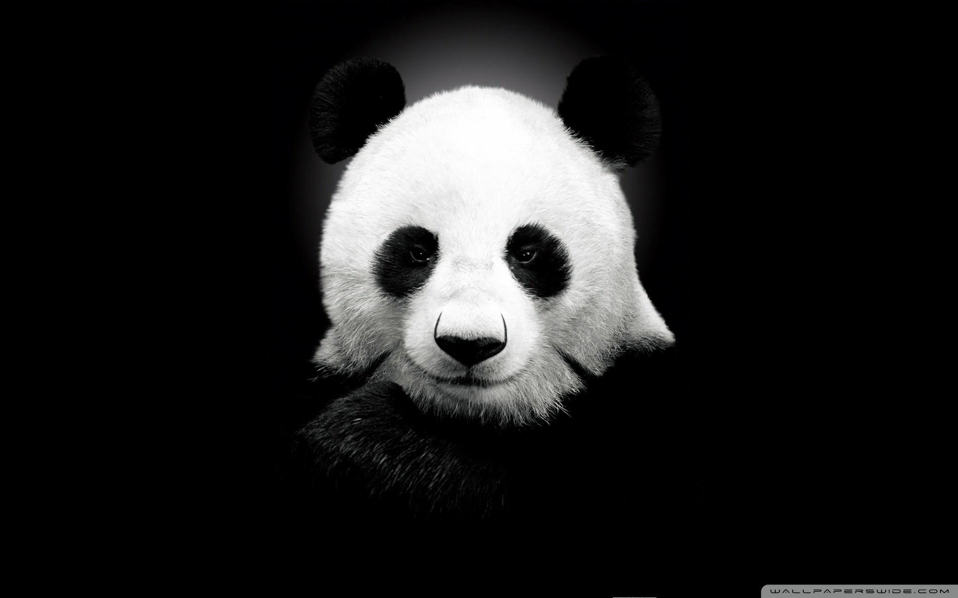 Panda Bear HD desktop wallpaper : High Definition : Fullscreen .