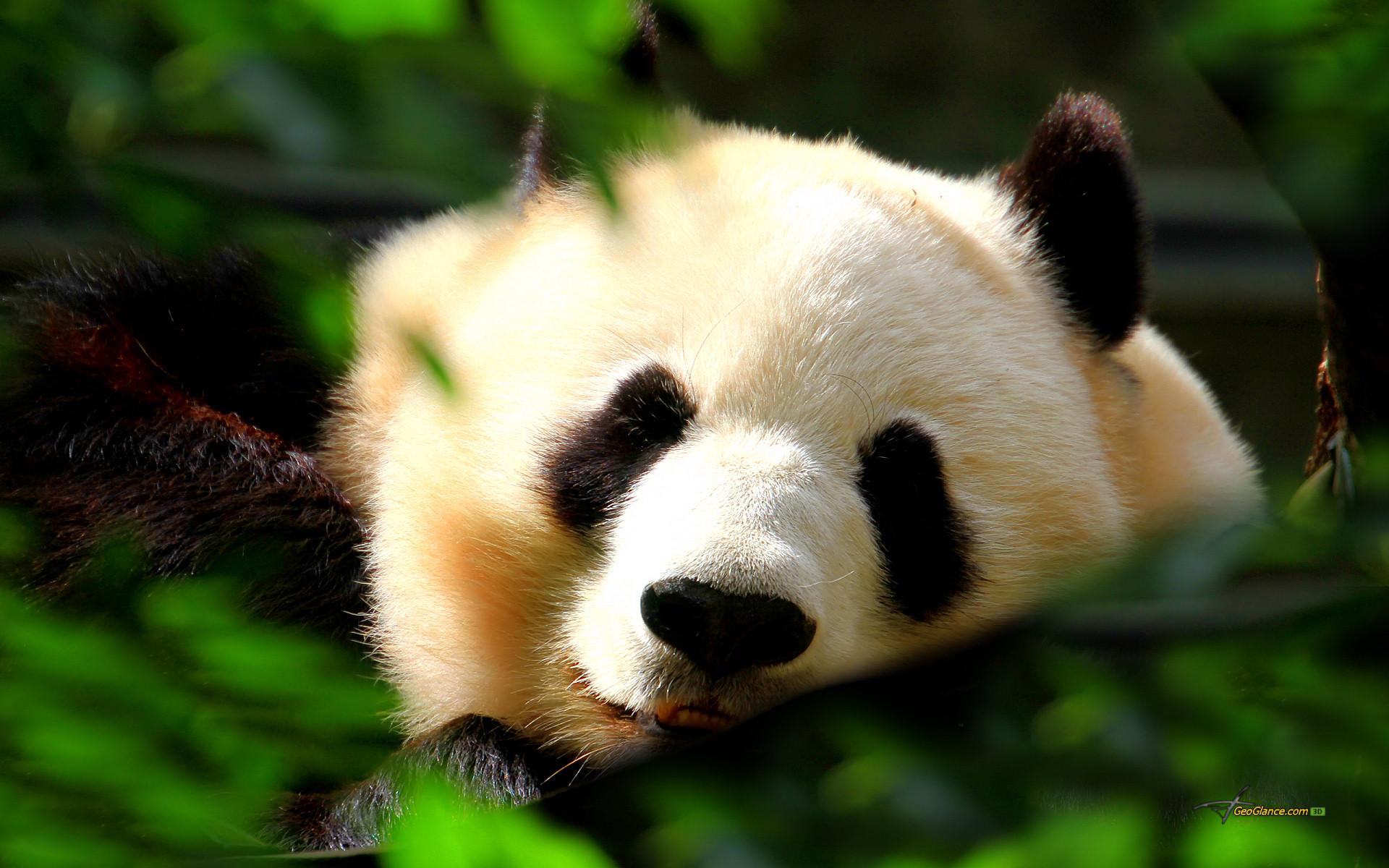 Description: Cute Panda Wallpaper is a hi res Wallpaper for pc .