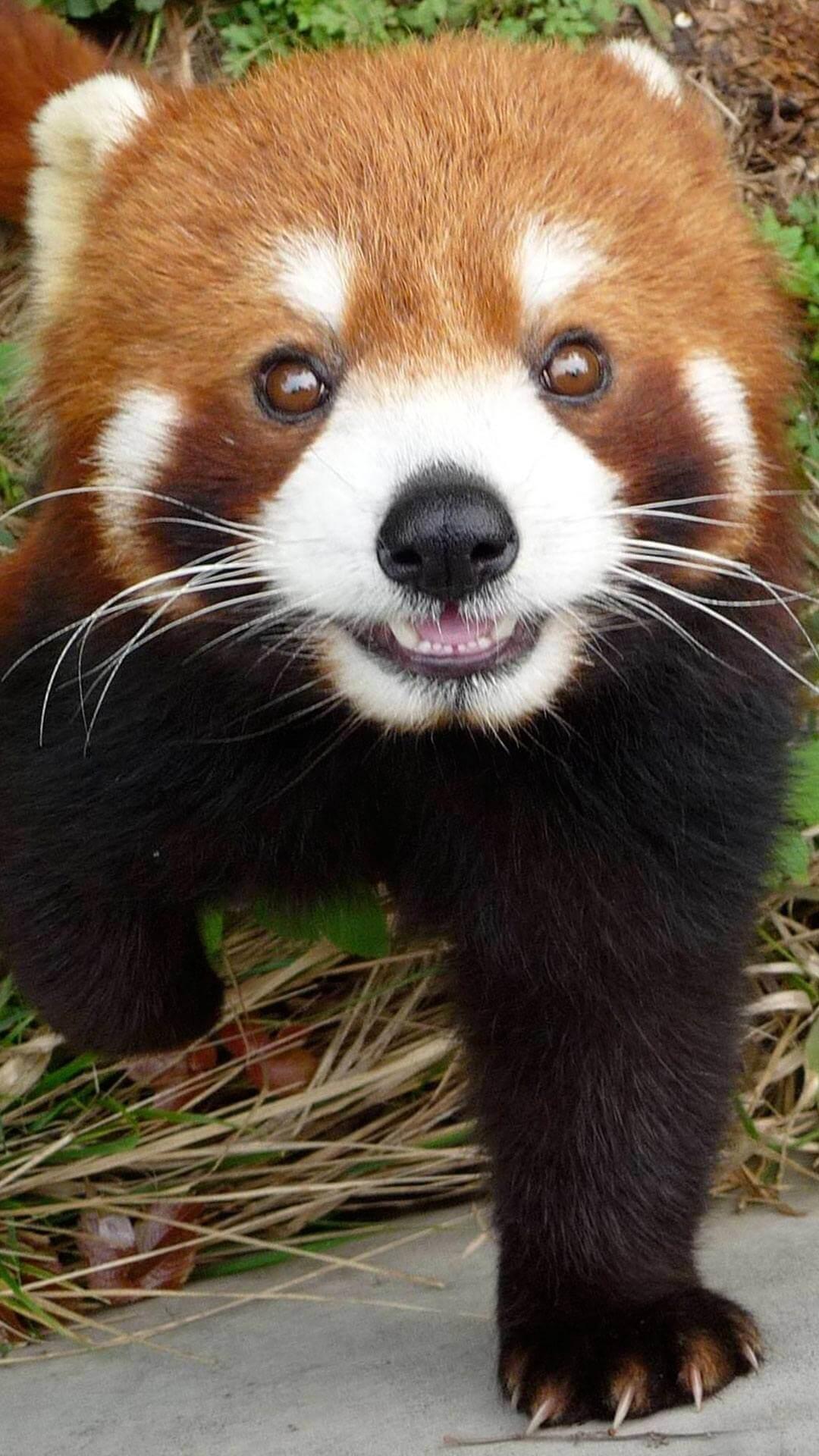 Cute Red Panda Wallpaper iPhone HD