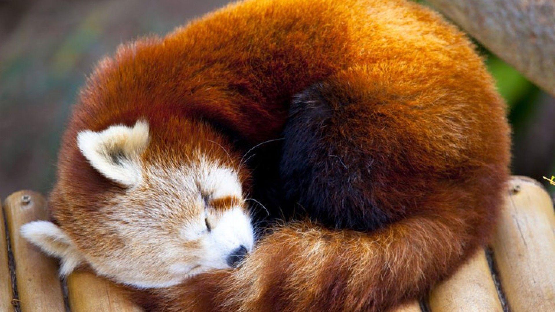 Red Panda Wallpaper 4 – Animal Backgrounds