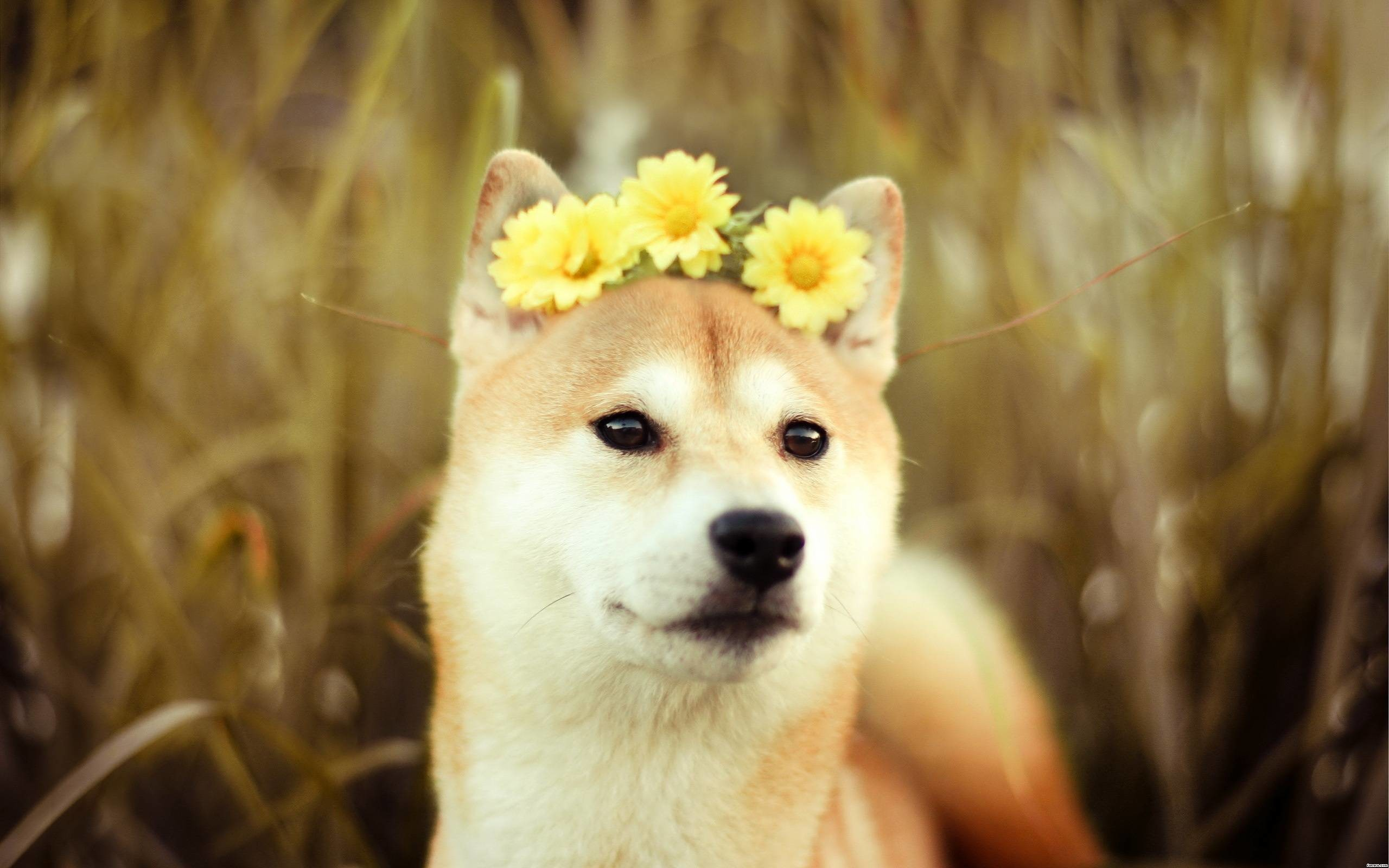 Free Doge Wallpapers Wide Â« Long Wallpapers