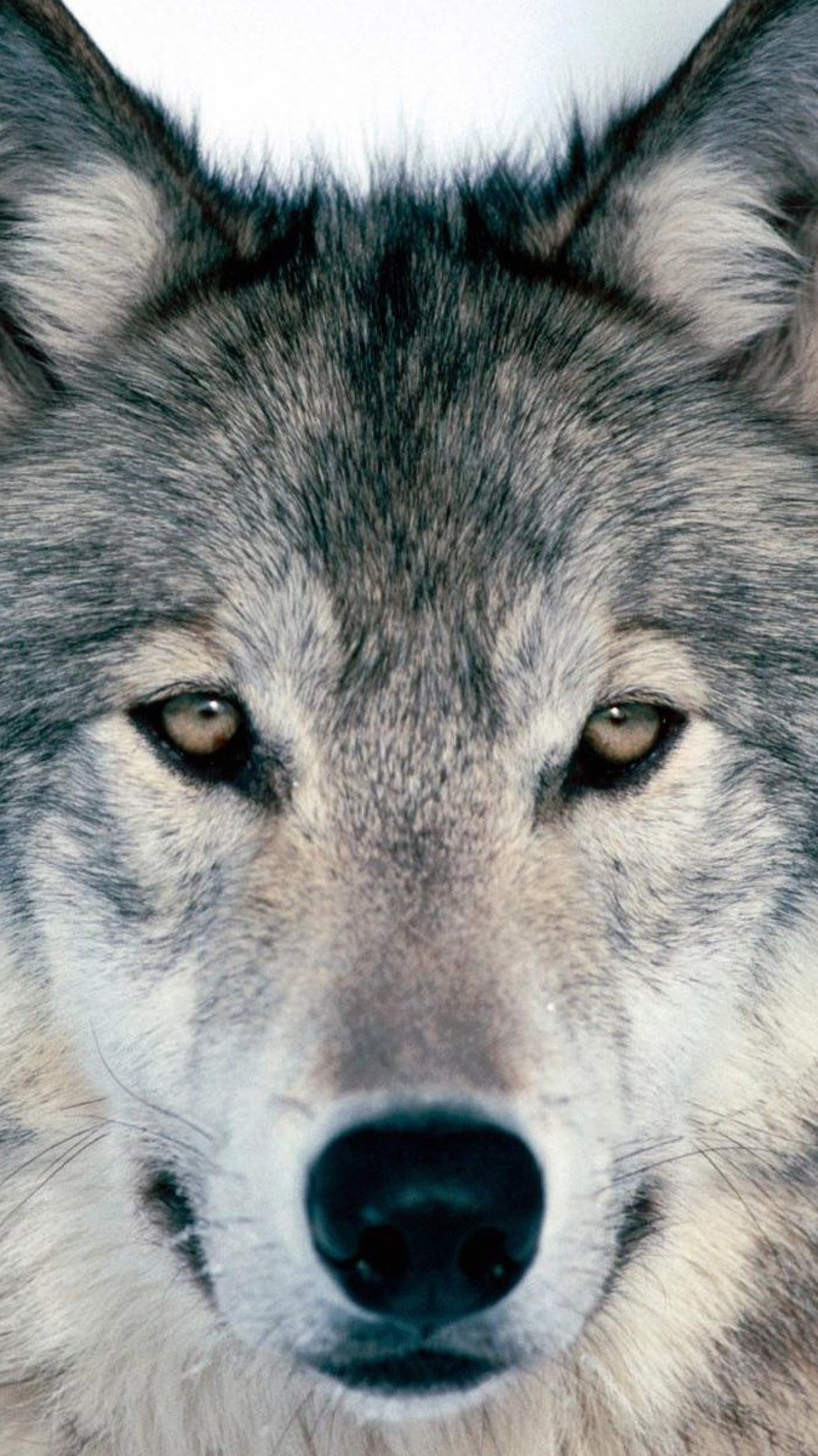 Preview wallpaper wolf, winter, snow, face, eyes, predator 1440×2560