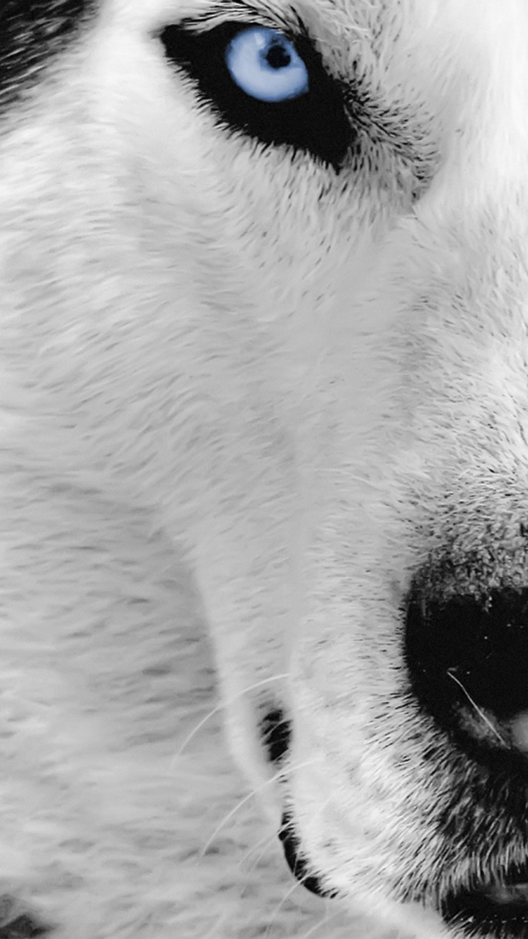 iPhone 6 plus wolf-face HD Wallpaper