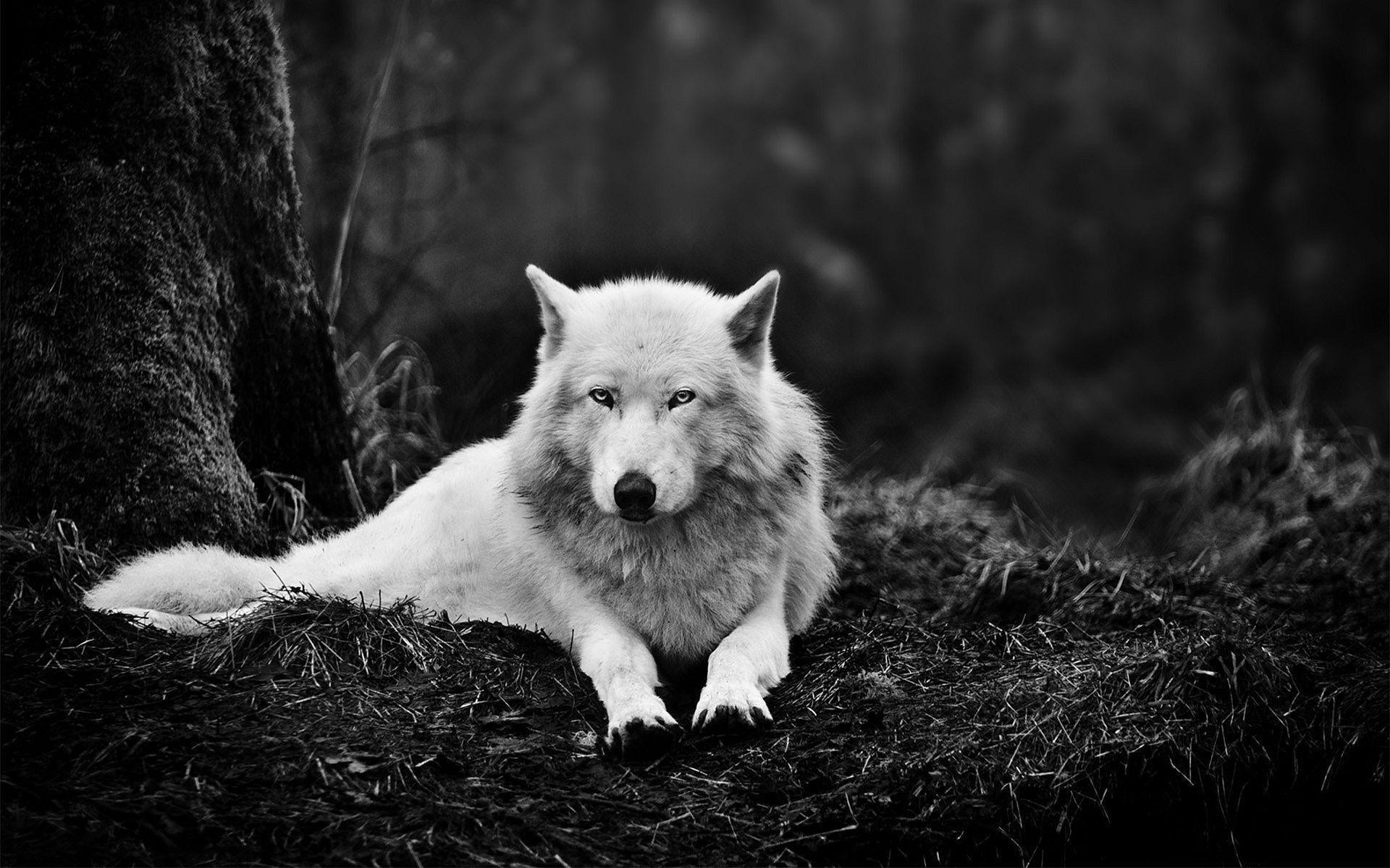 White Wolf Wallpapers – Full HD wallpaper search