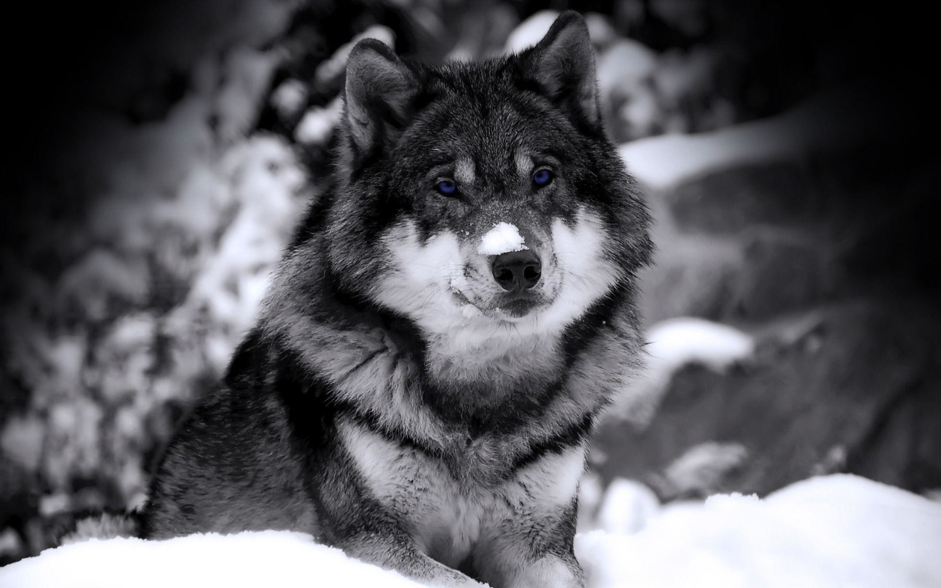 Wolf HD Wallpapers | Wolves Desktop Wallpapers For Android | Cool .
