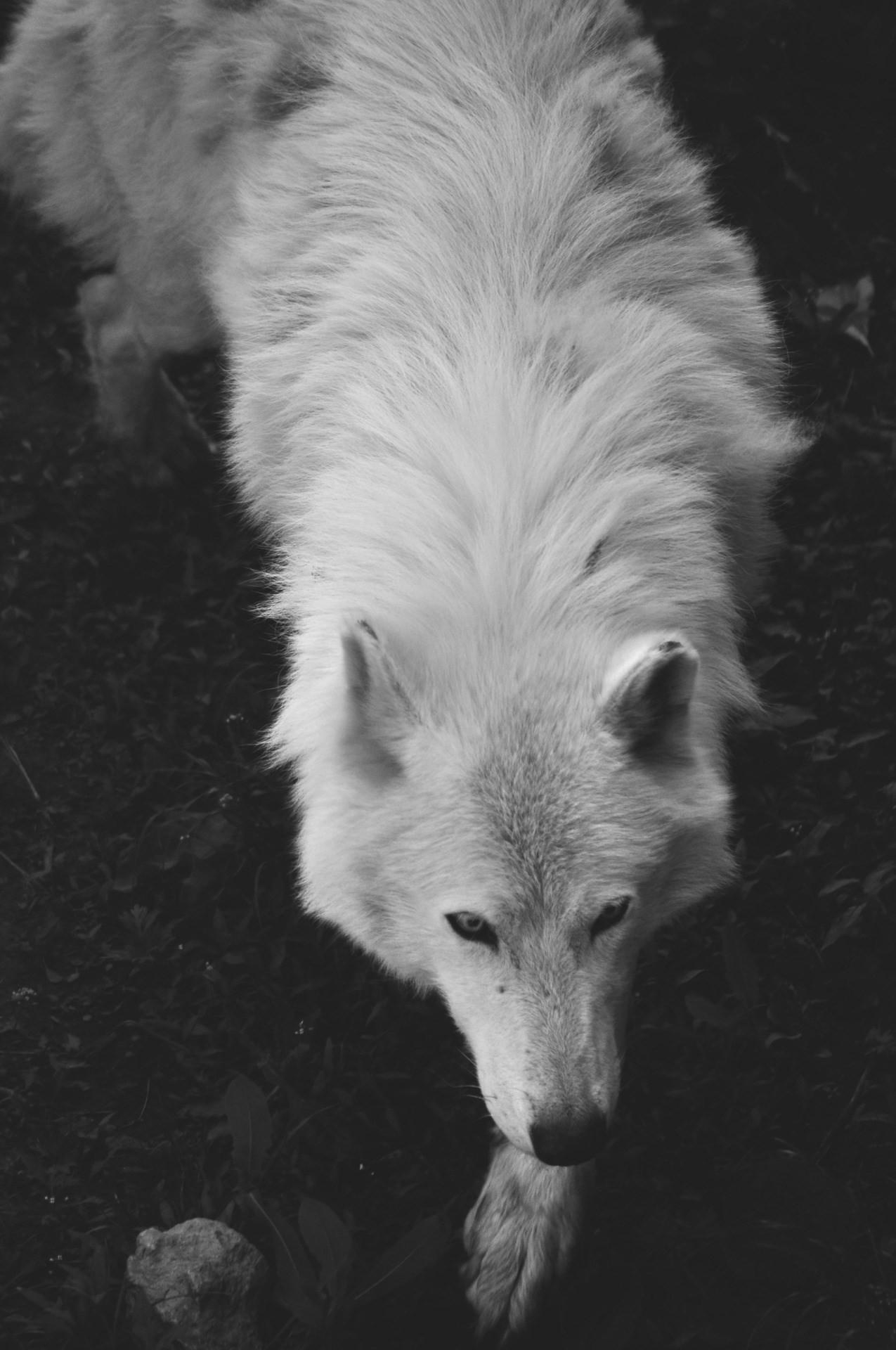 wolf wallpaper …