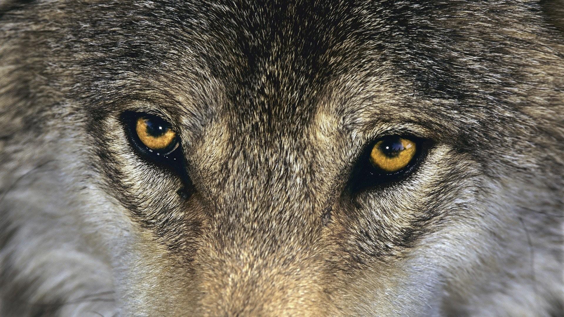 Grey Wolf HD …