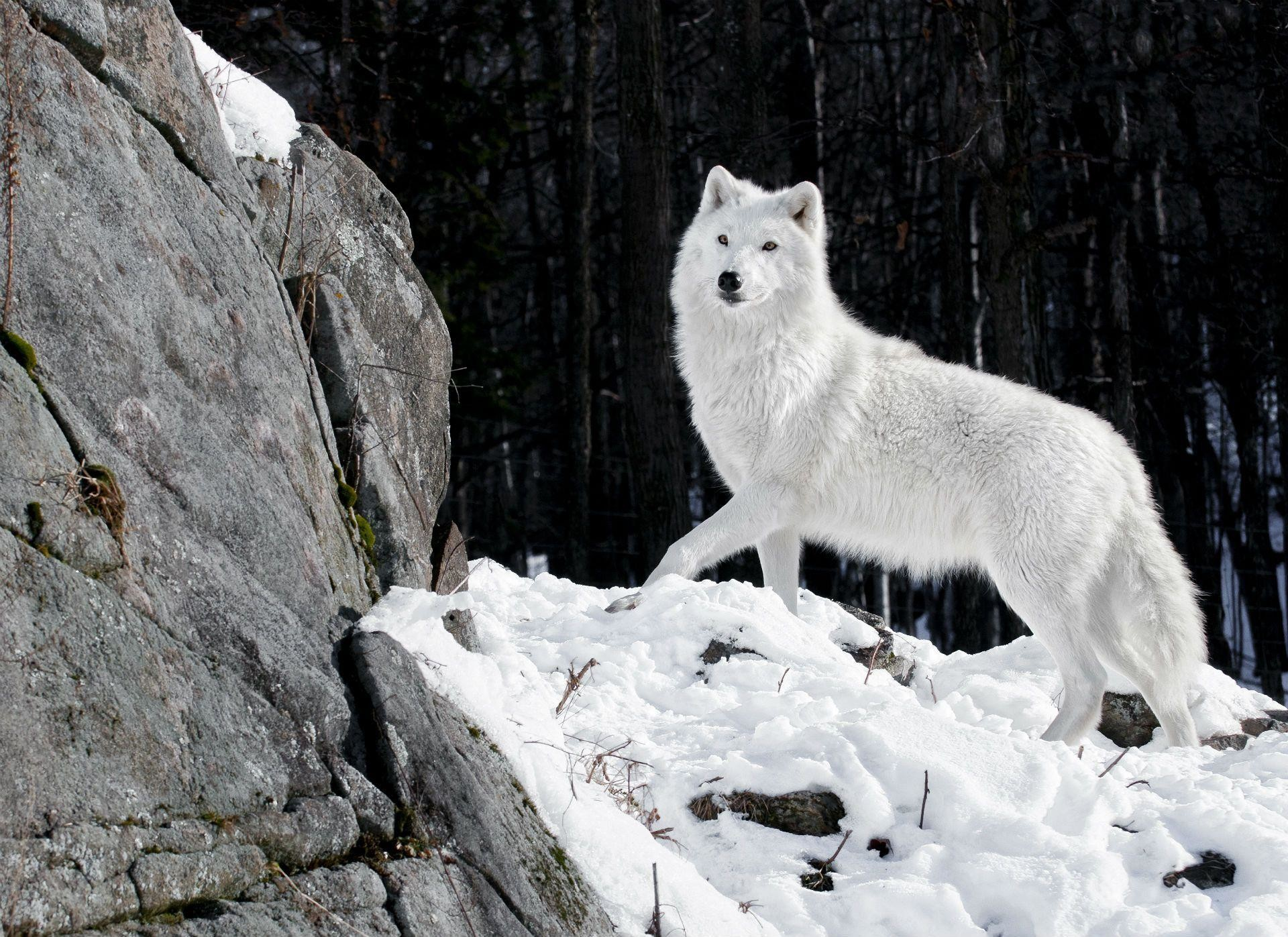 Images For > White Wolf Wallpaper Iphone
