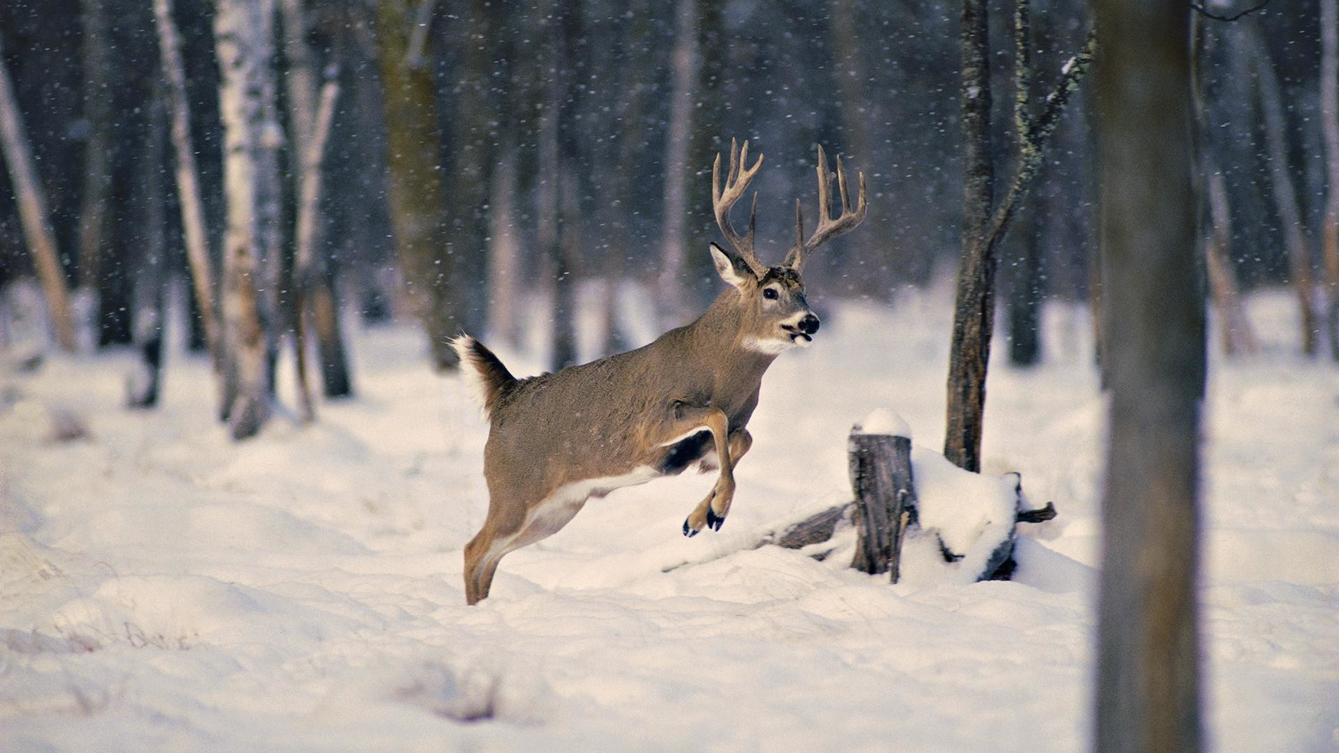 43 Whitetail Deer Wallpaper Screensaver