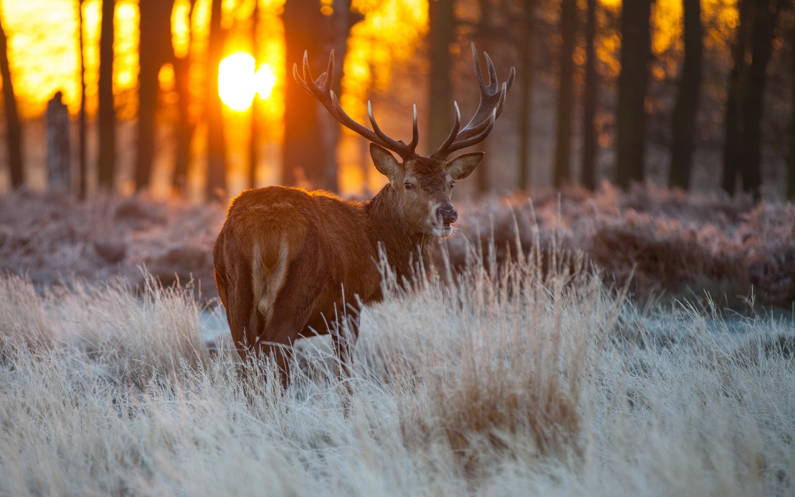 Red Deer Wildlife HD Wallpaper – New HD Wallpapers