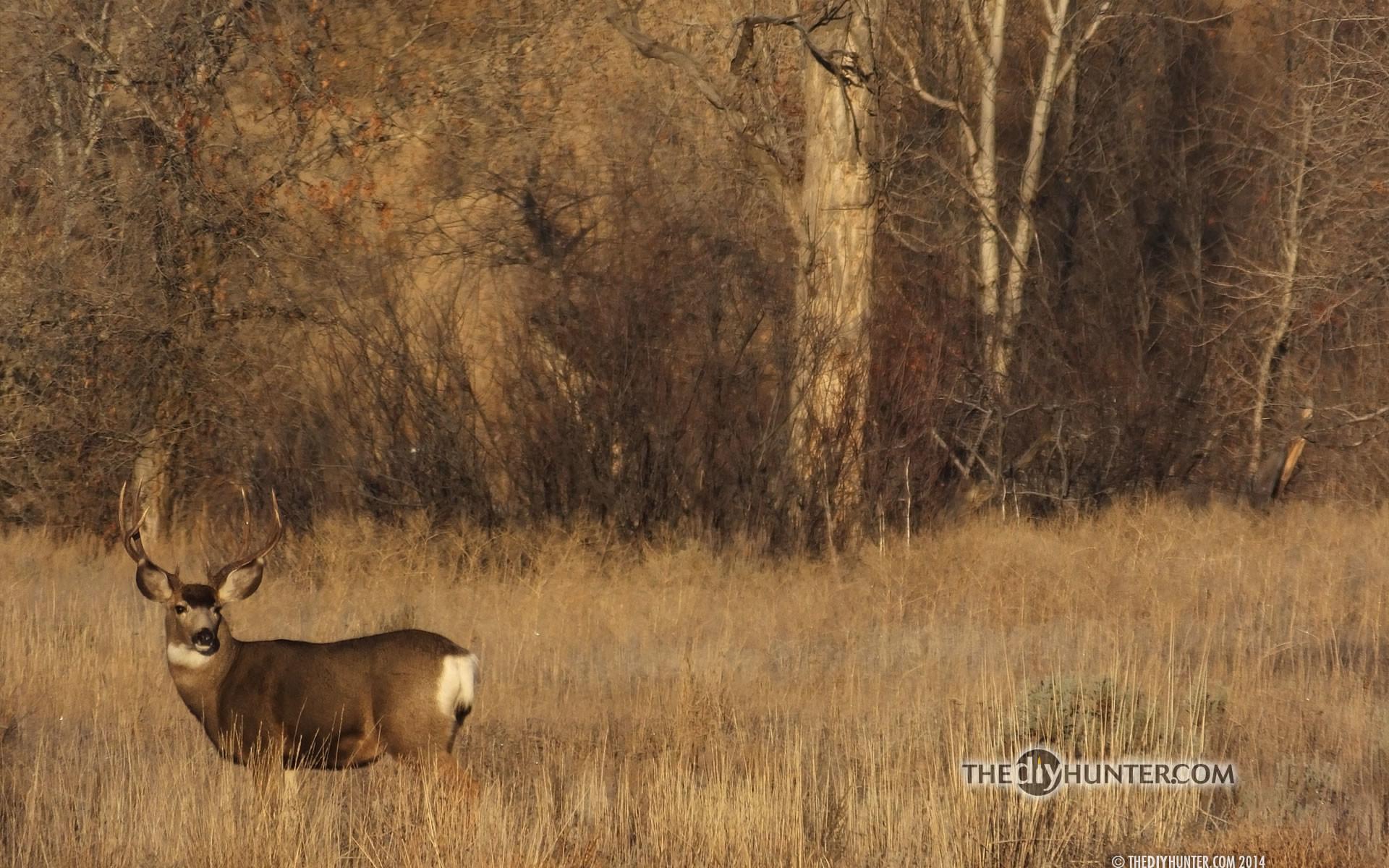mule deer buck in grass …