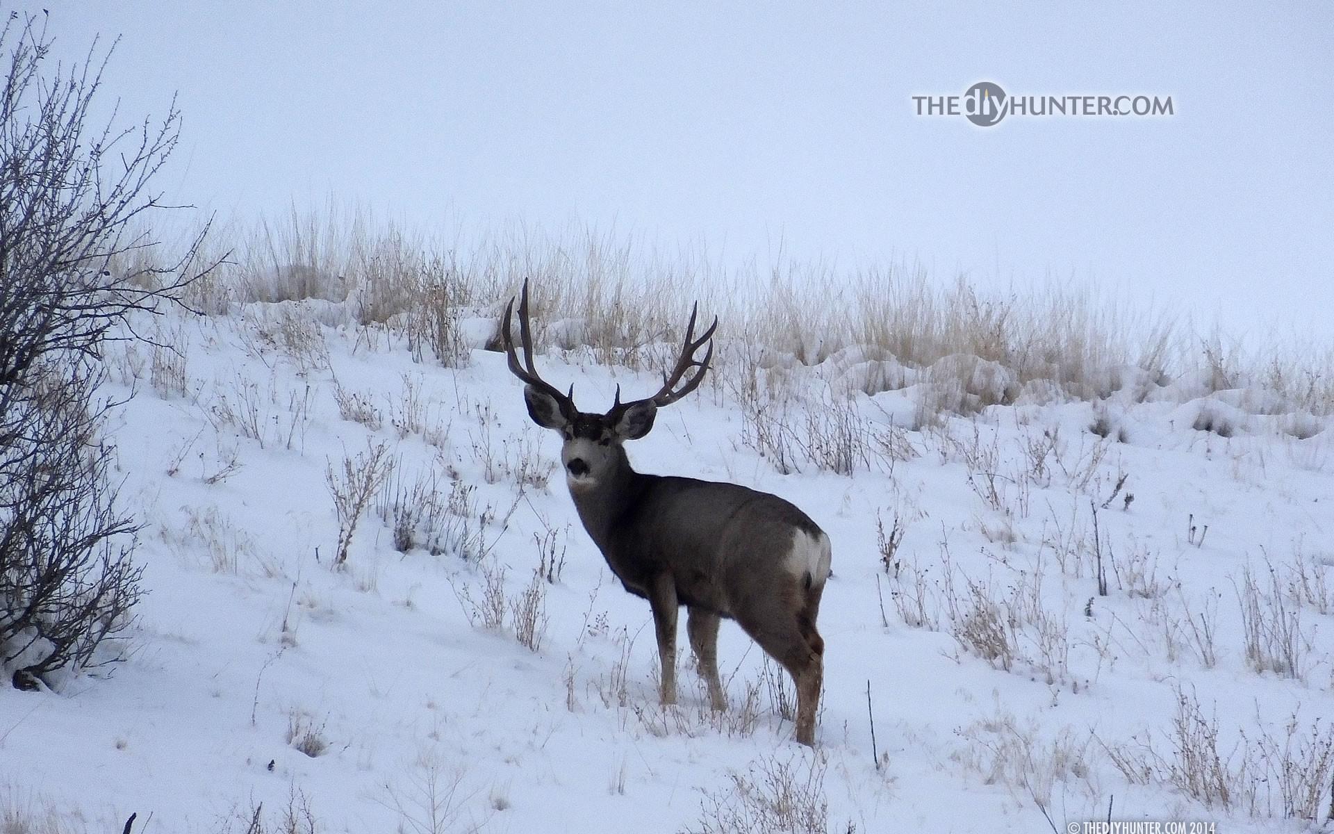 … large 3×5 mule deer buck in snow