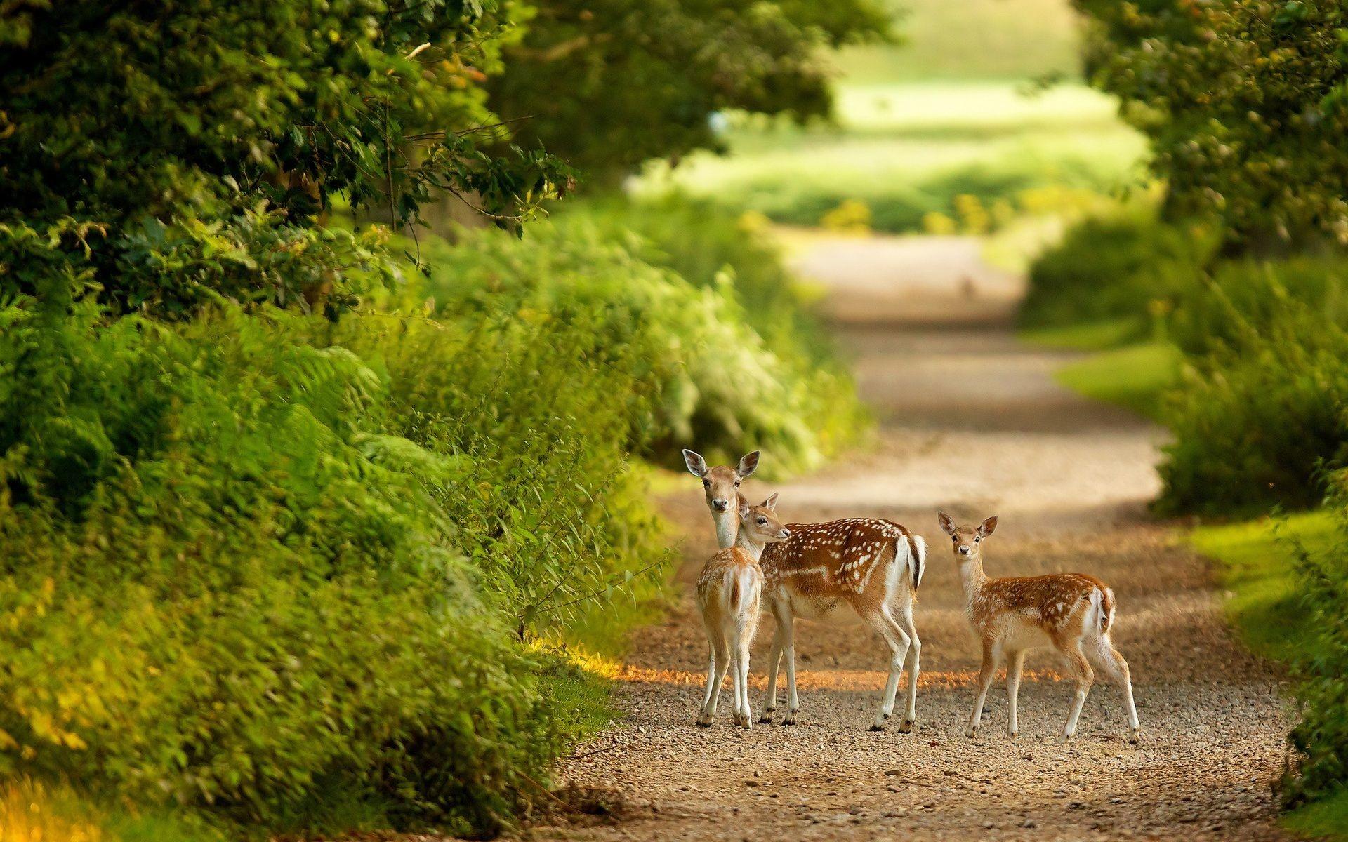 Free wildlife wallpaper bucks – Beautiful Deer Desktop Wallpapers. Download