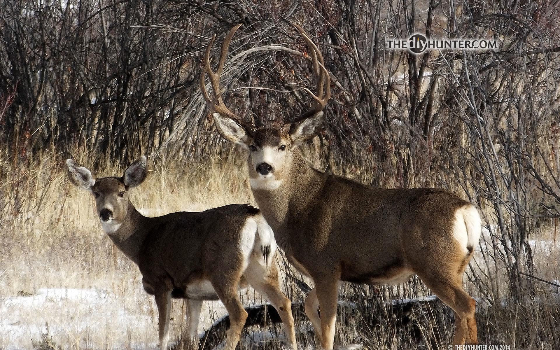 mule deer buck and doe …