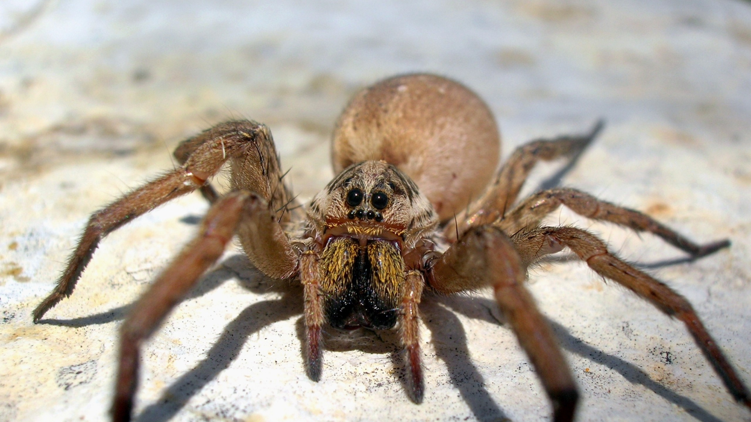 Wallpaper spider, big, brown, scary