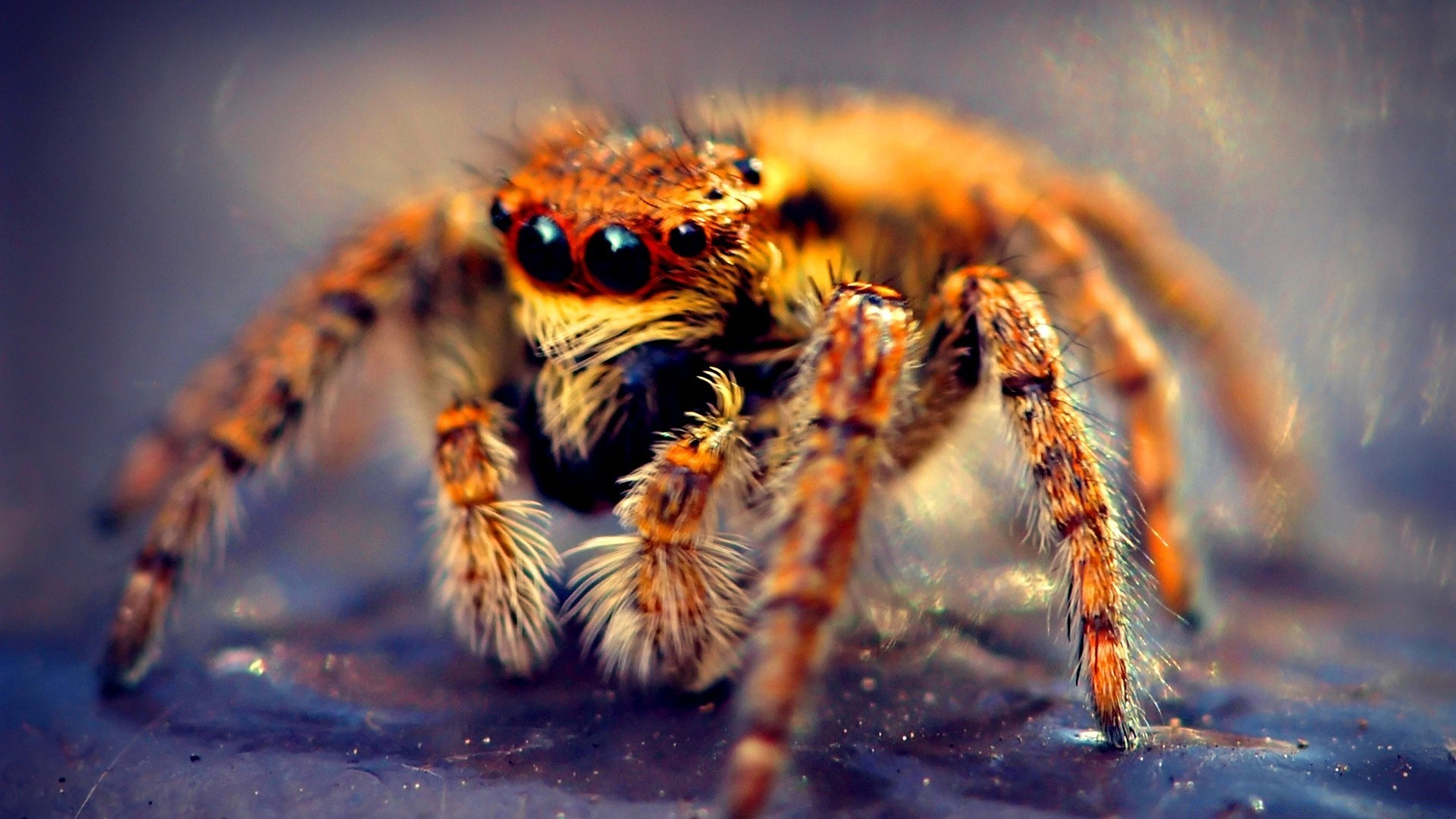 Insects spider wildlife nature animal arachnid insect close-up invertebrate  HD wallpaper. Android wallpapers for free.